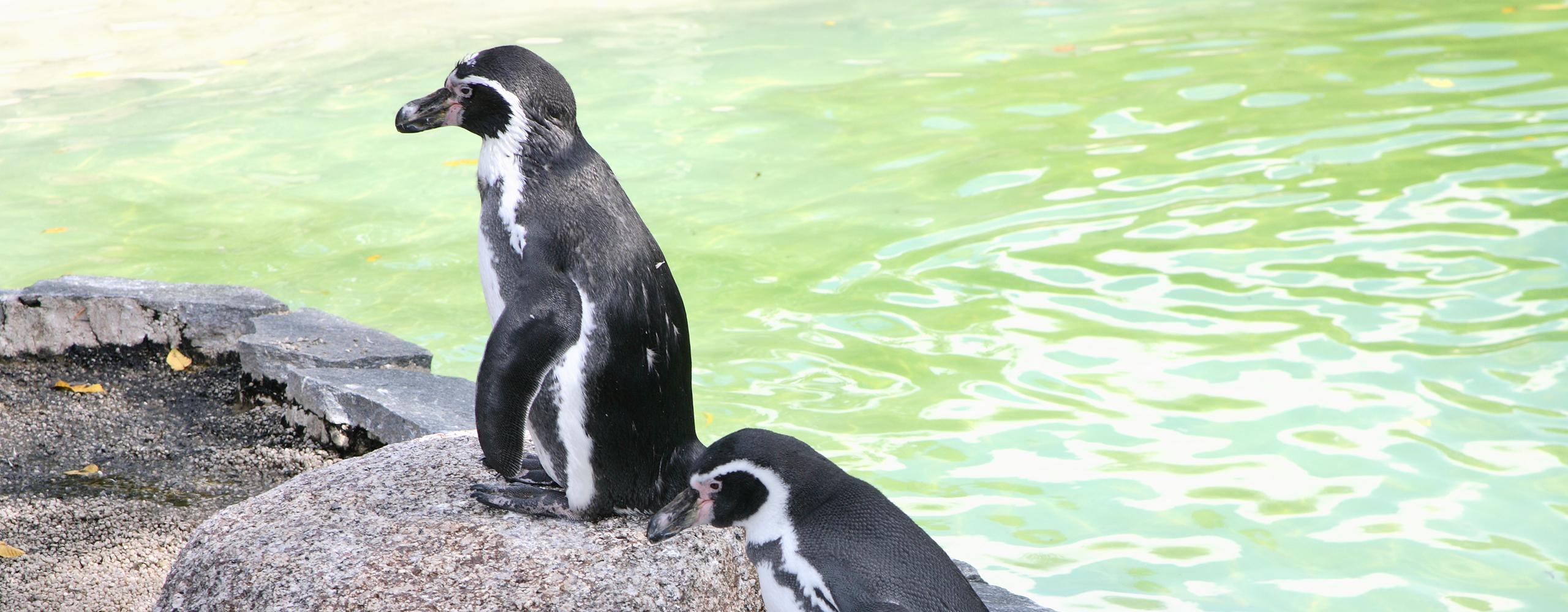 Humboldt-Pinguin | Luisenpark