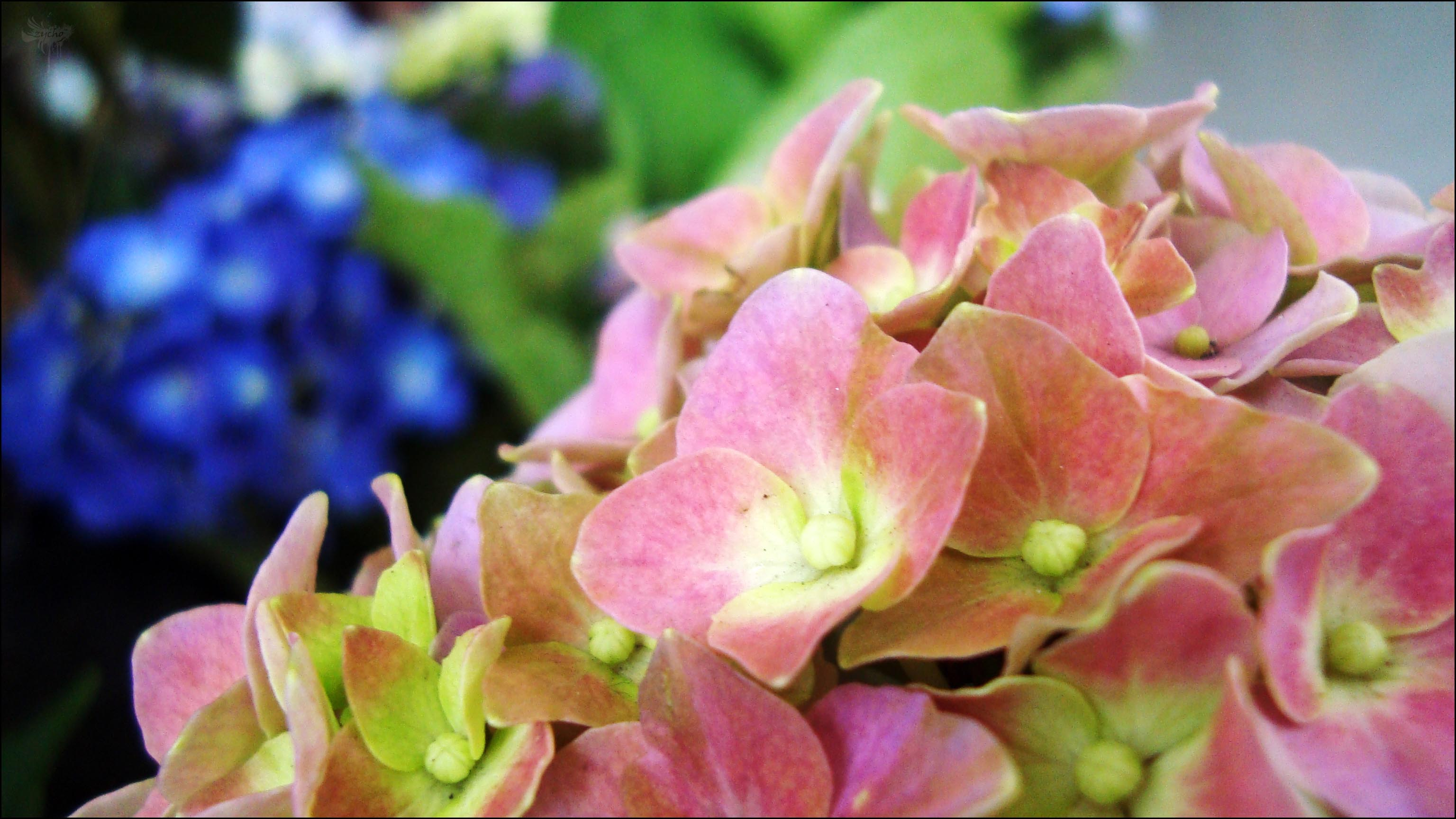 Free Photo Pink And Blue Flowers Petals Pink Plant Non