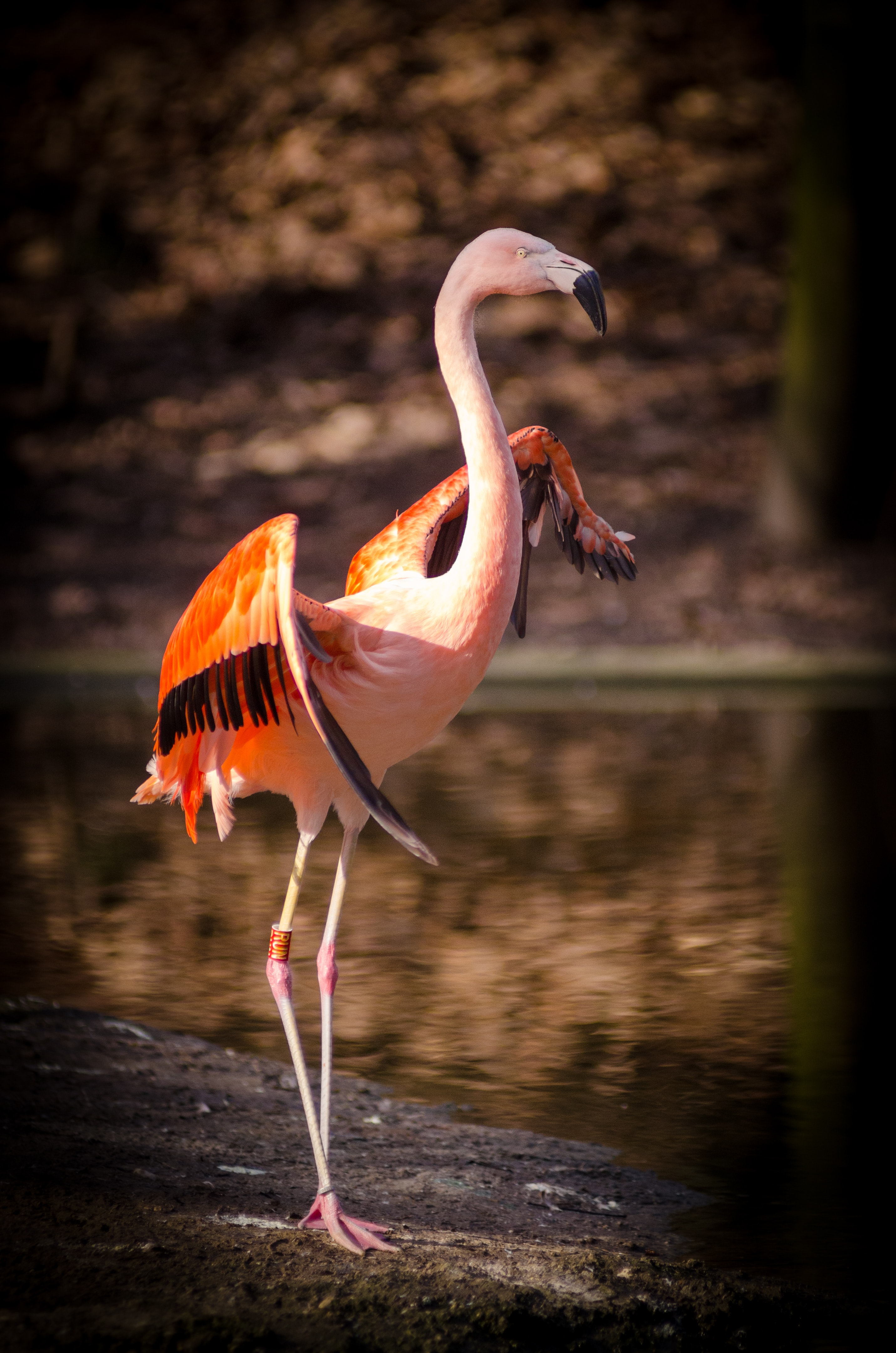 Pink and Red Flamingo Standing Near Body of, Animal, Bird, Feathers, Flamingo, HQ Photo