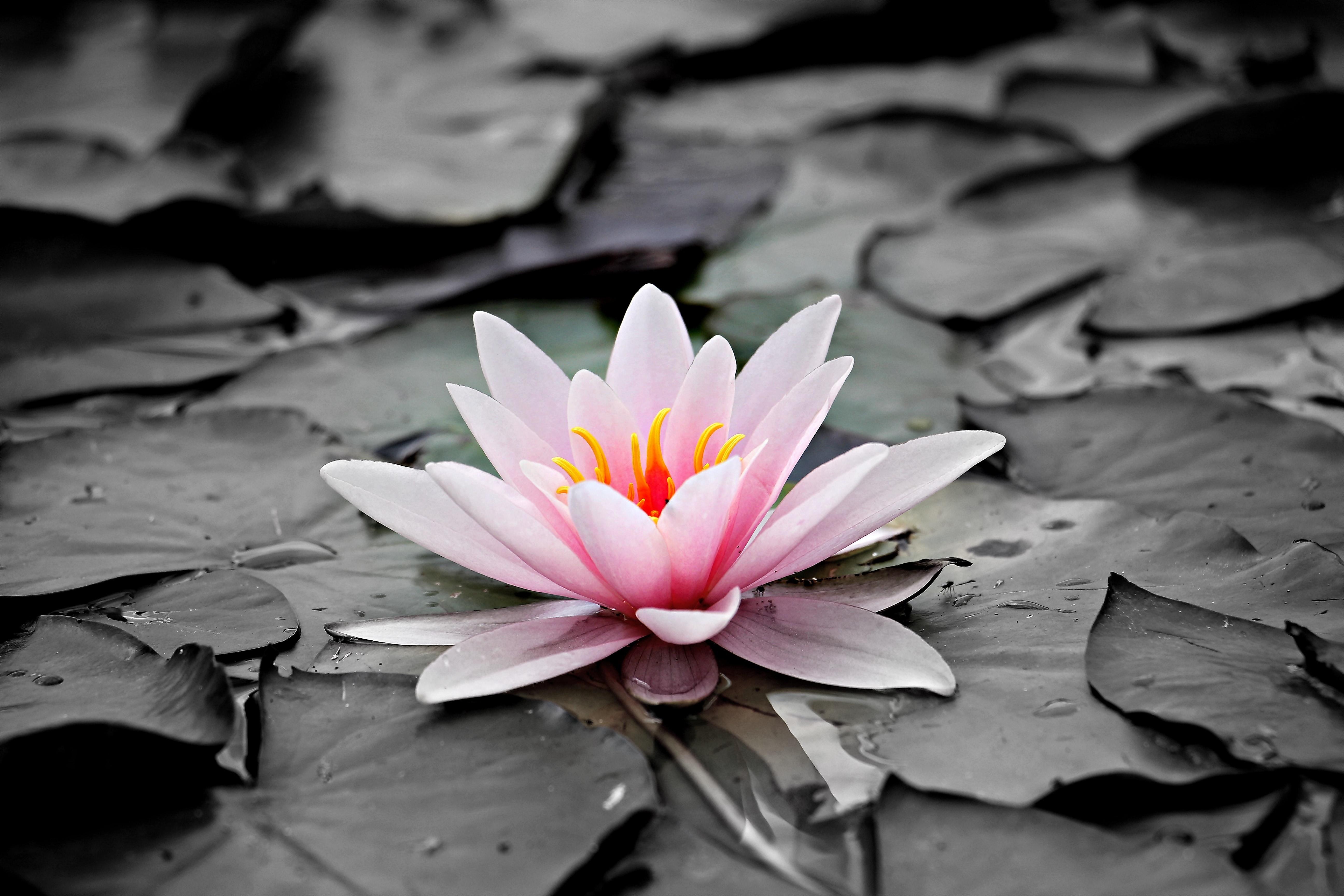 Free Photo Pink And White Lotus Flower Pink Petals Pond Free