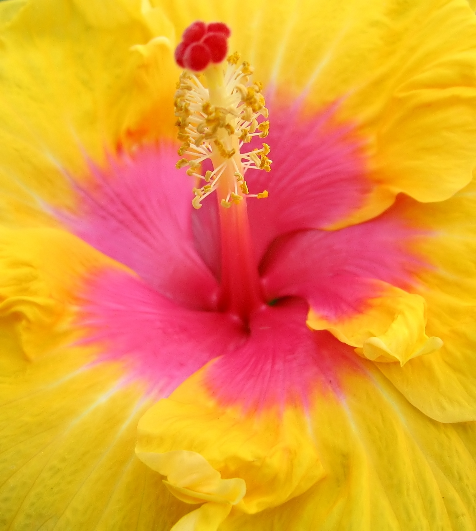 Pink and yellow flower photo