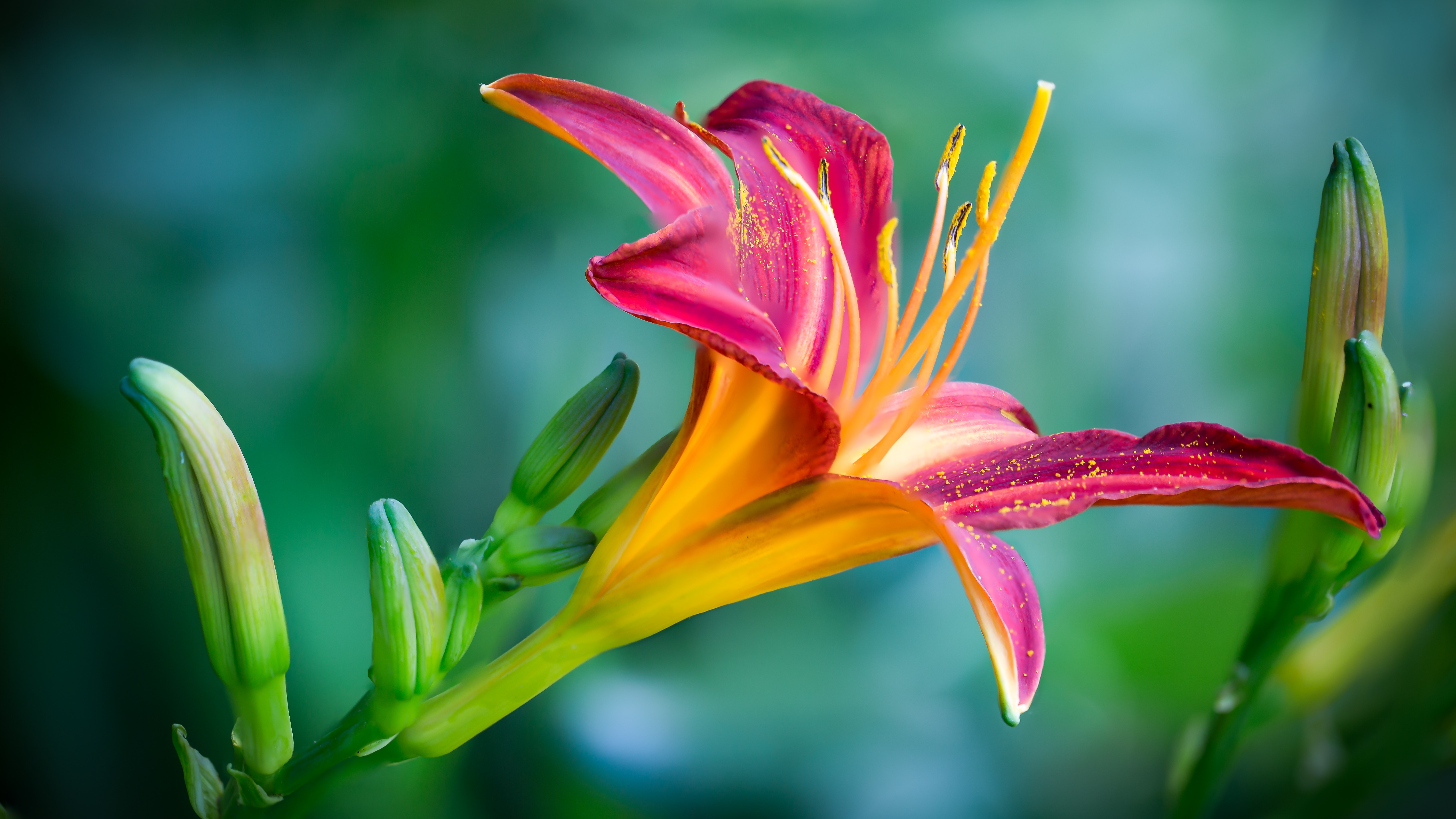 Pink and Yellow Lily Flower in Closeup Photo, Growth, Green, Garden, Macro, HQ Photo