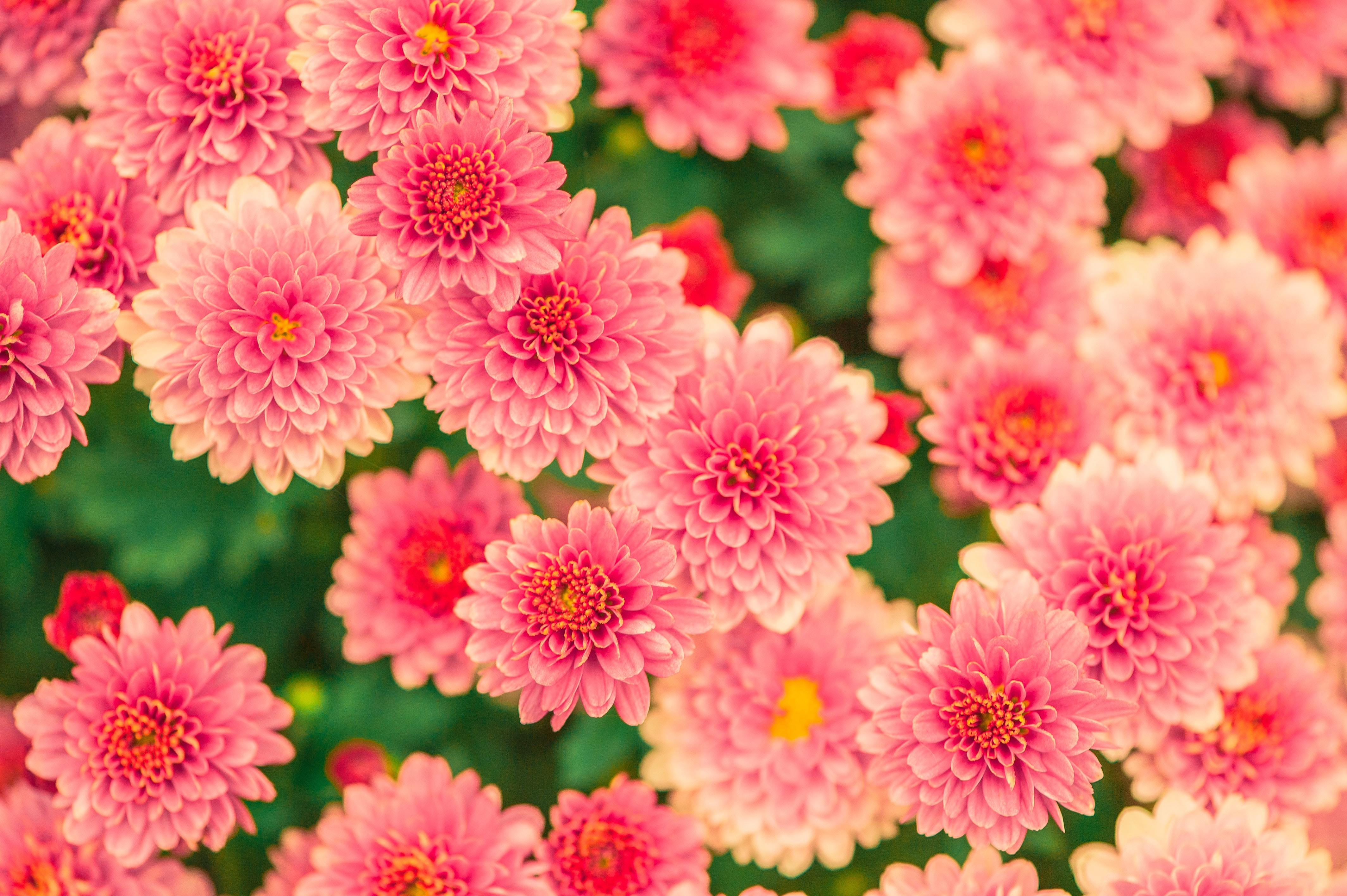 Pink and Yellow Petaled Flower Photo, Garden, Summer, Spring, Pretty, HQ Photo