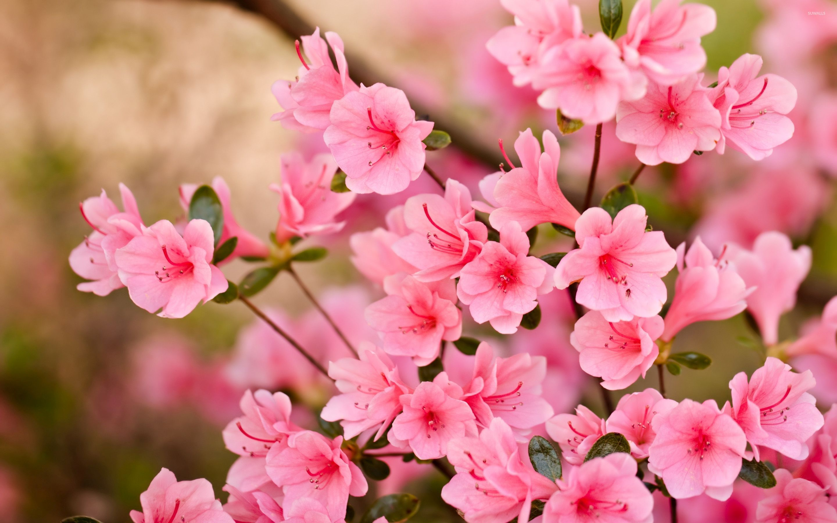 Pink blossoms photo