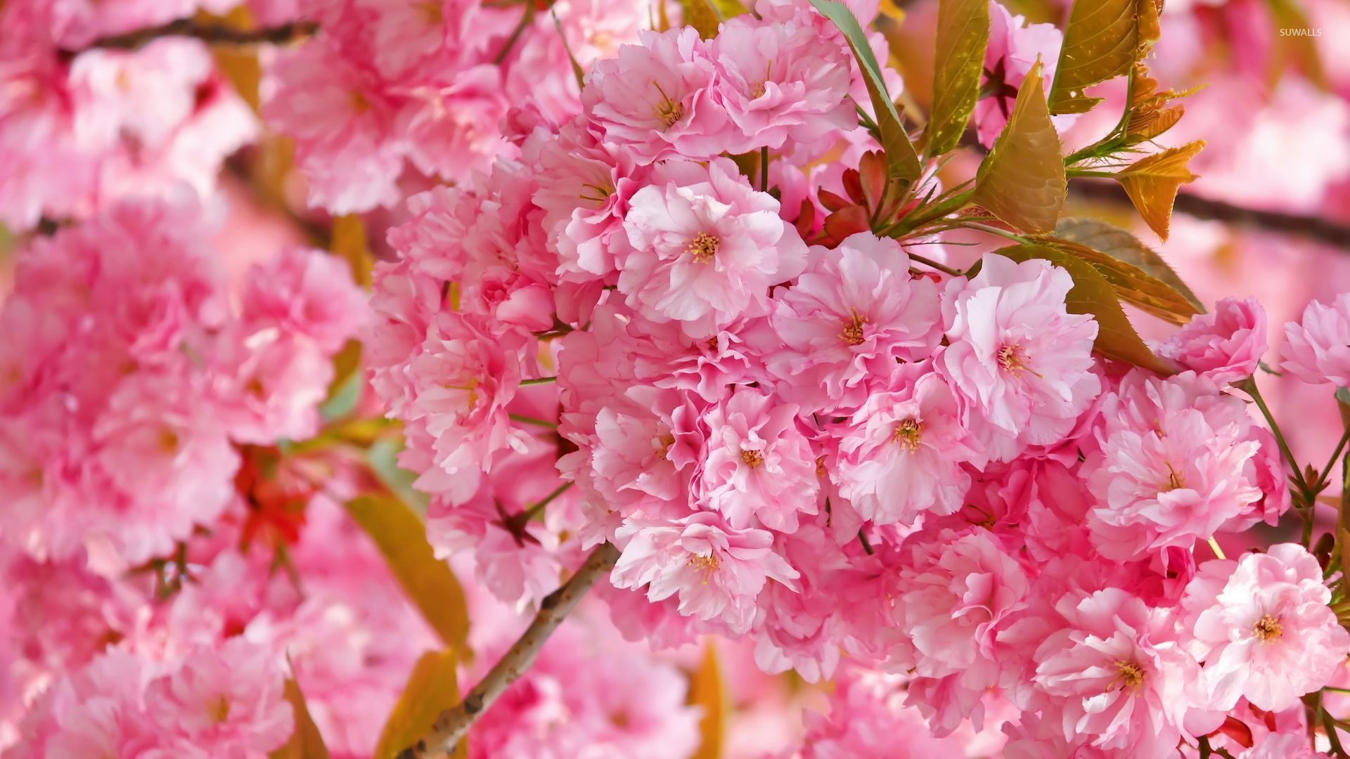 Free Photo Pink Blossoms Pink Pretty Summer Free Download