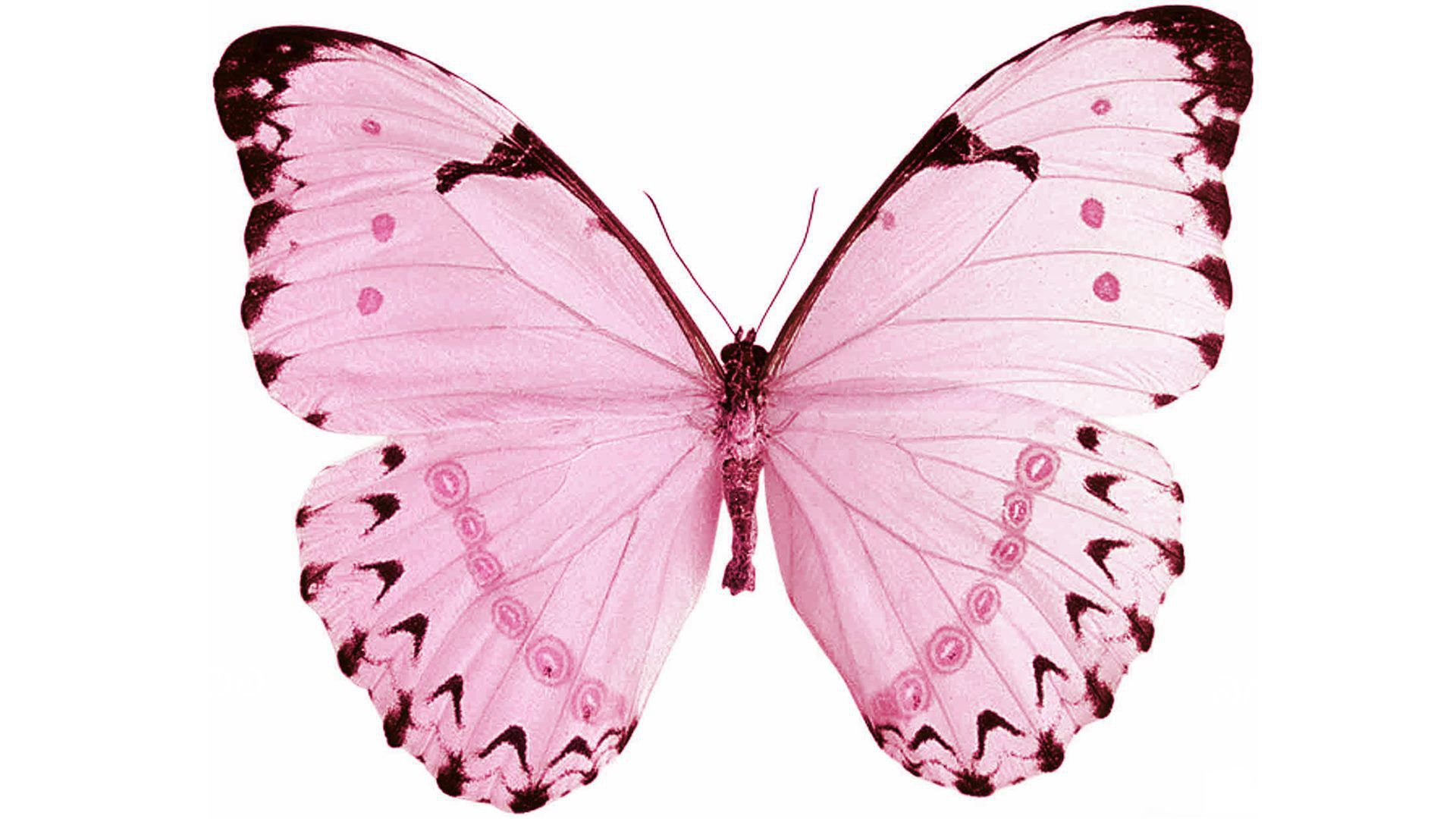 Pink Butterfly Hd White Background