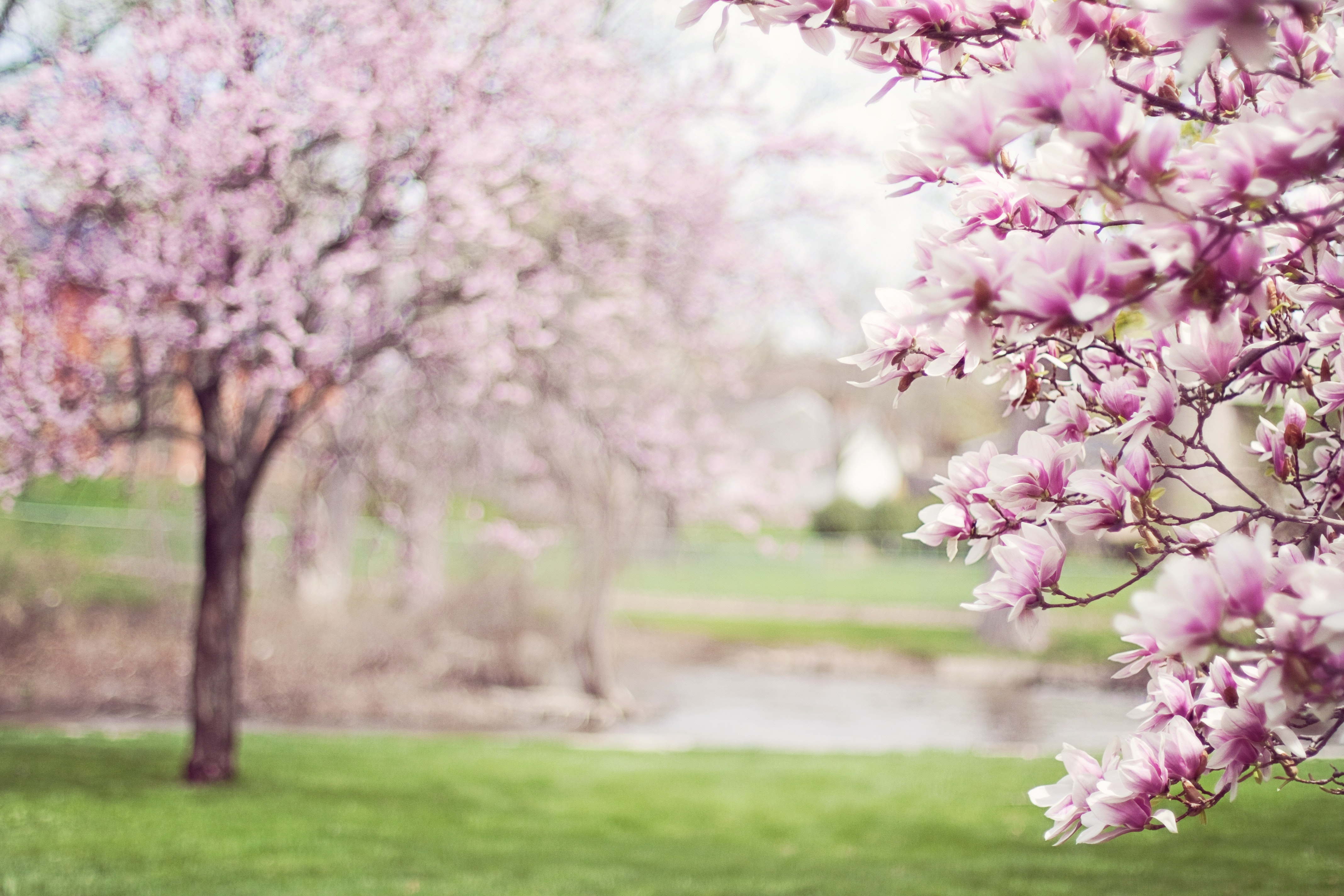 More Pink Cherry Blossom Tree