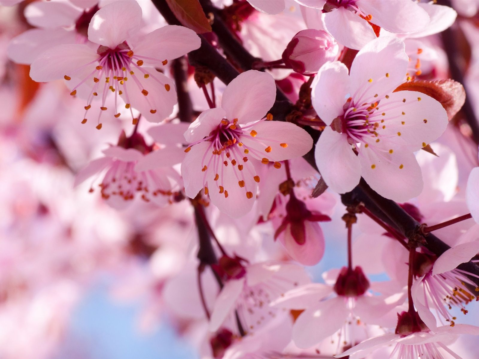Pink cherry flowers photo