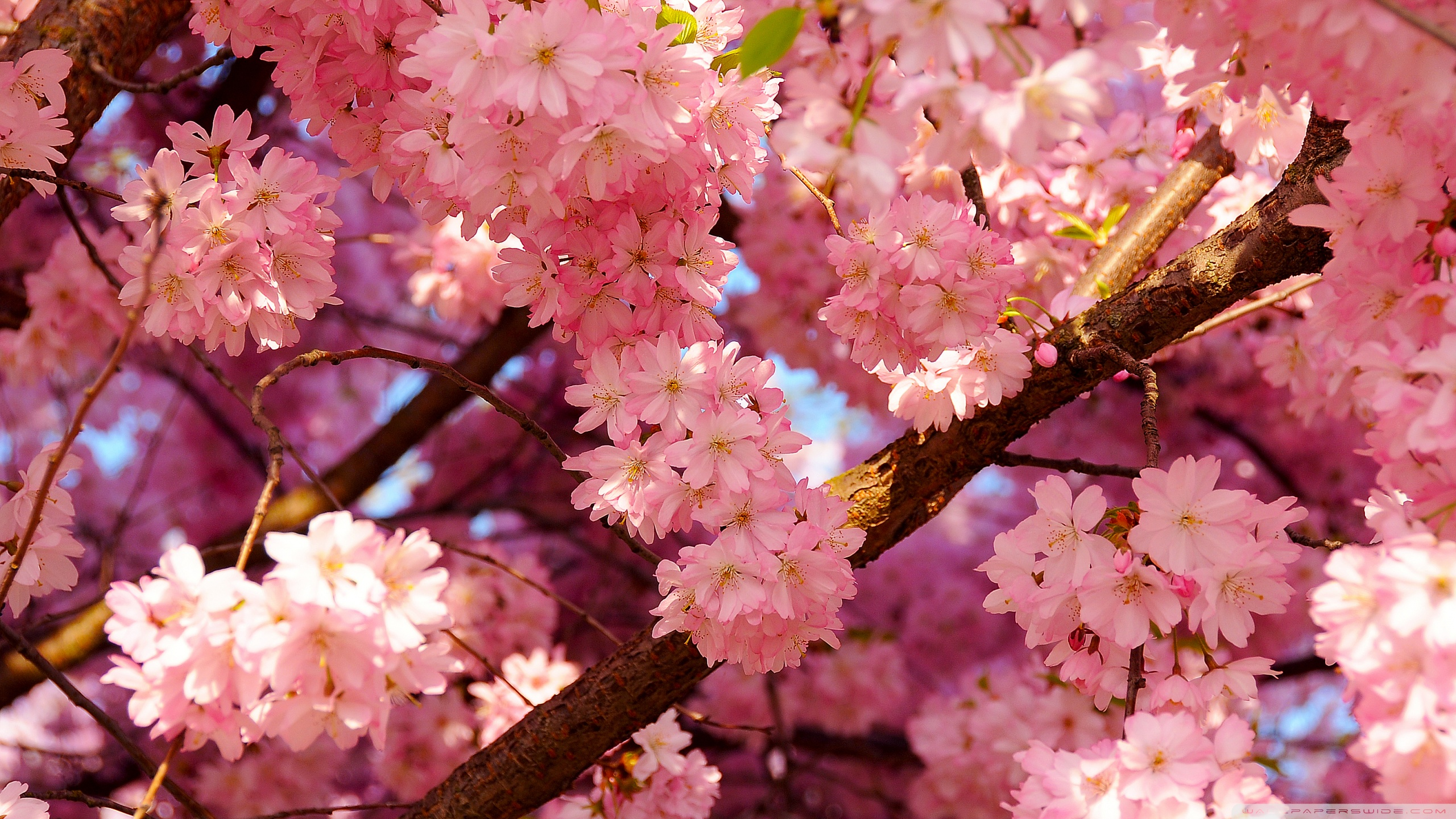 Free photo Pink Cherry Flowers , Pink, Spring, Tree , Free