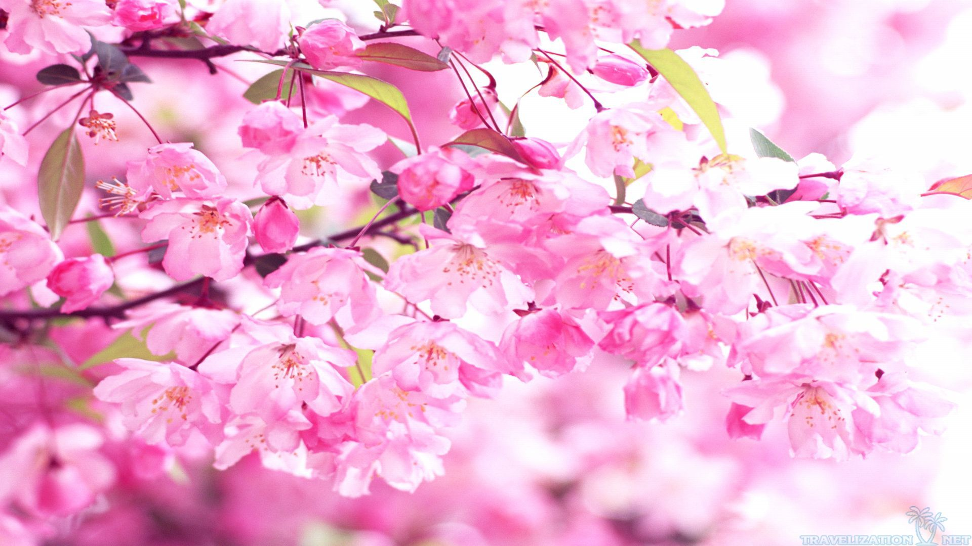 Free Photo Pink Cherry Flowers Pink Spring Tree Free Download