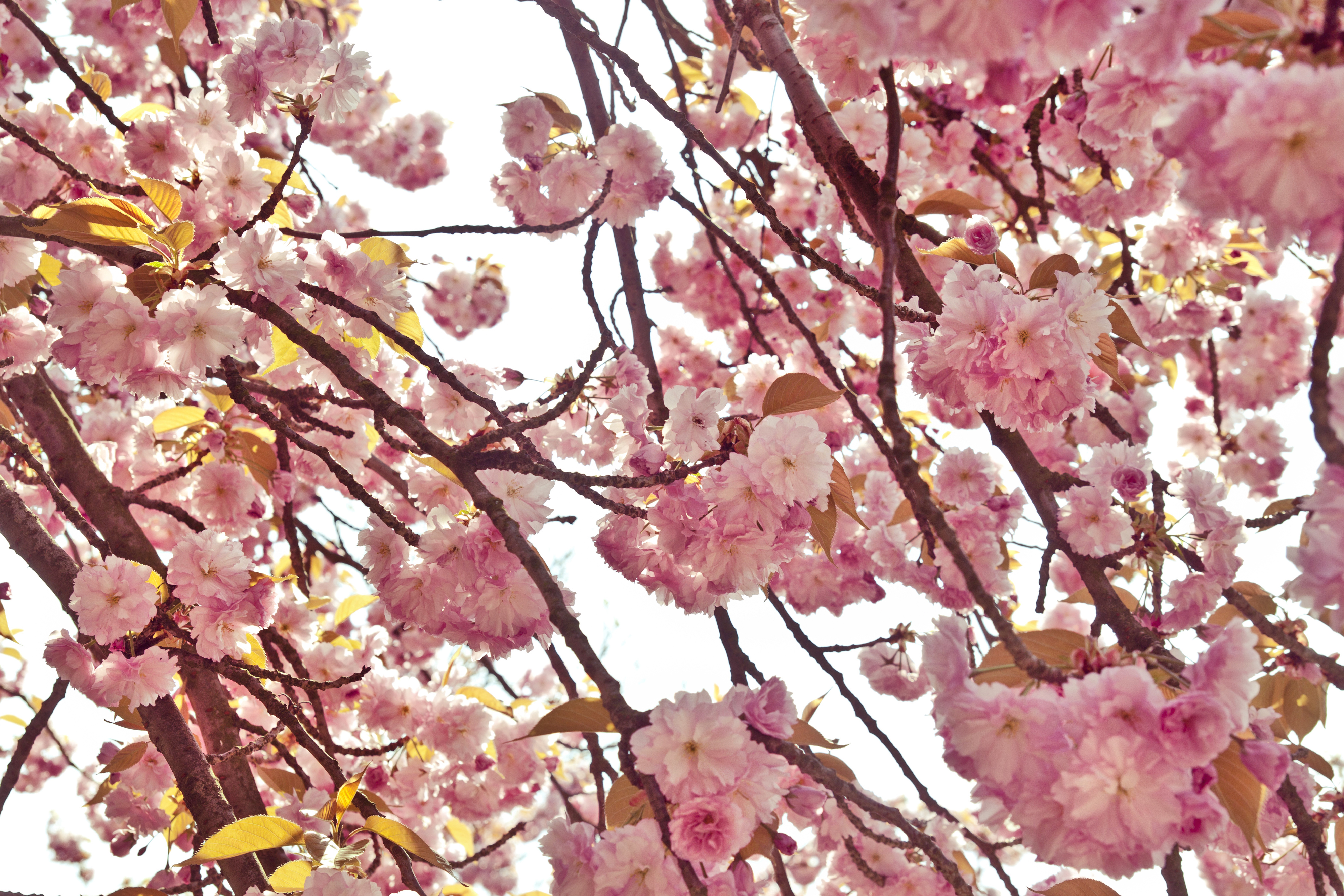 Free Photo Pink Cherry Tree Flowers Tree Pink Flowers Non