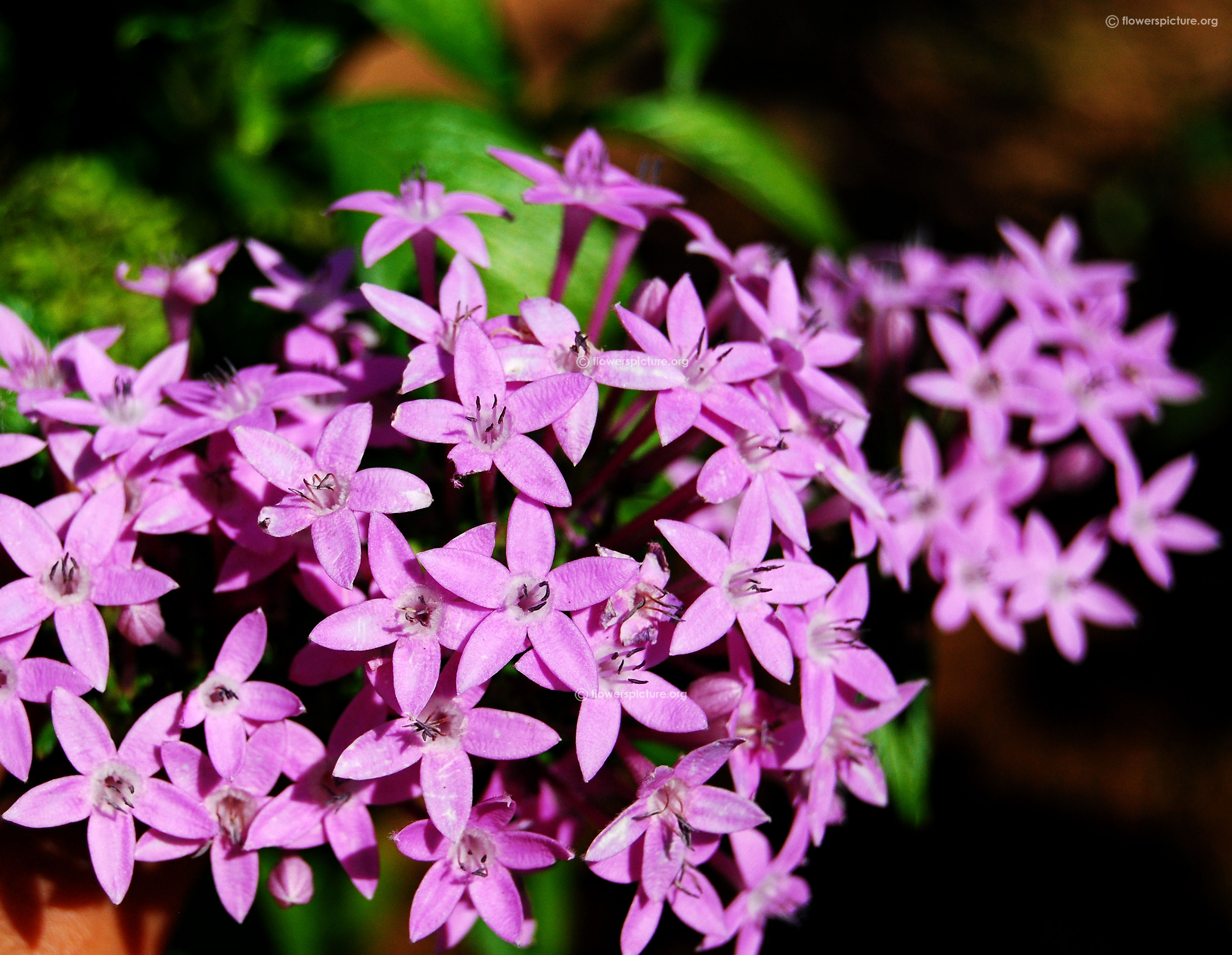 Free Photo Pink Cluster Flowers Pretty Plant Red Free