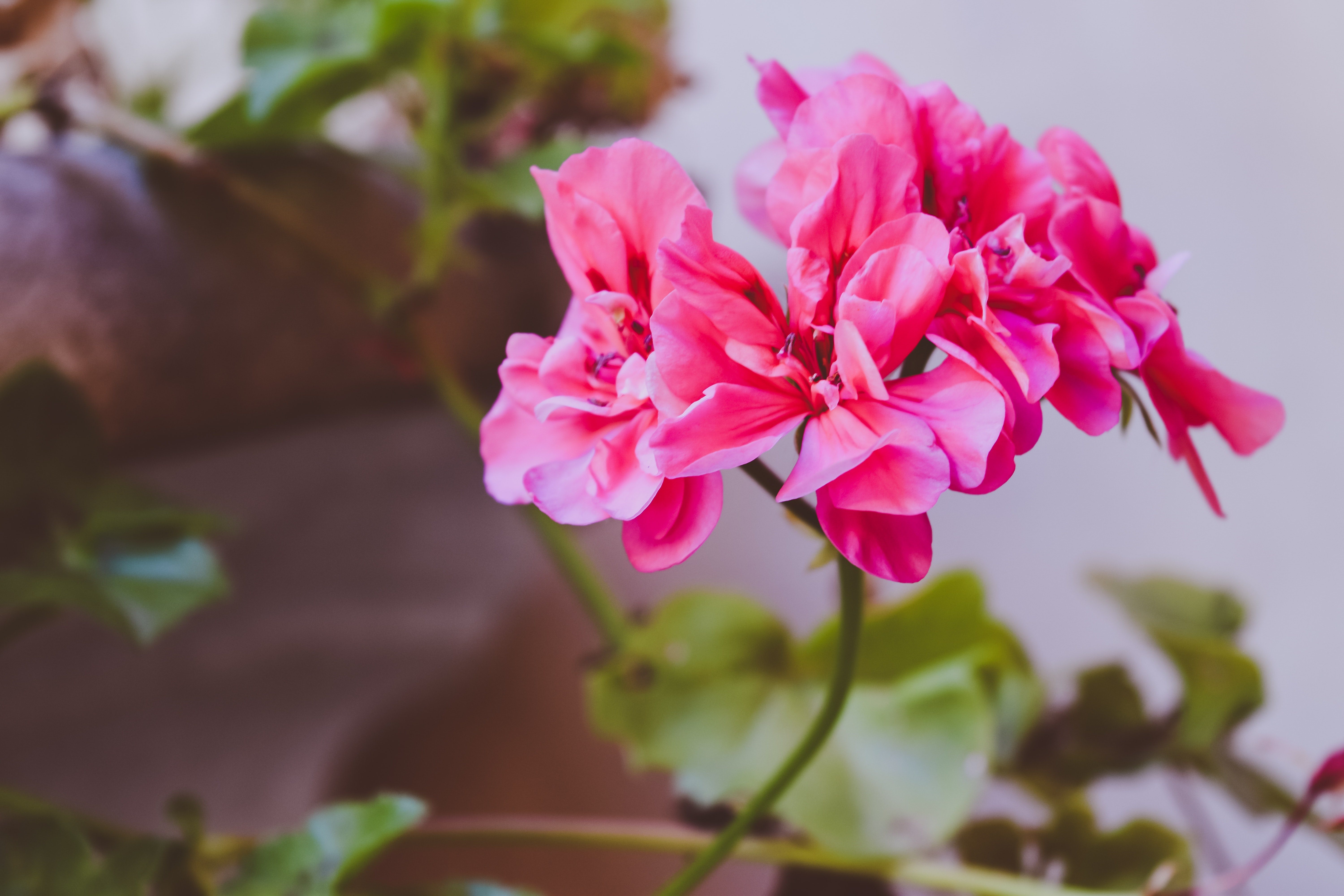 Pink clustered flower photo