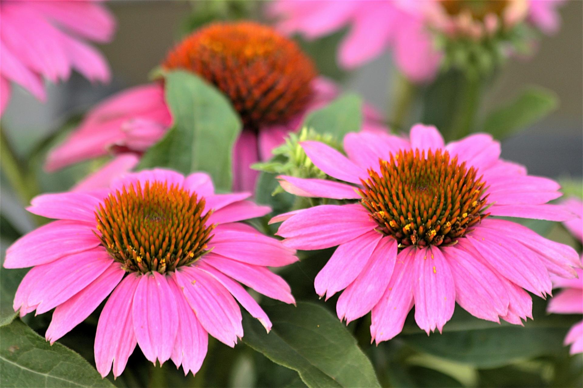 Pink coneflower closeup photo