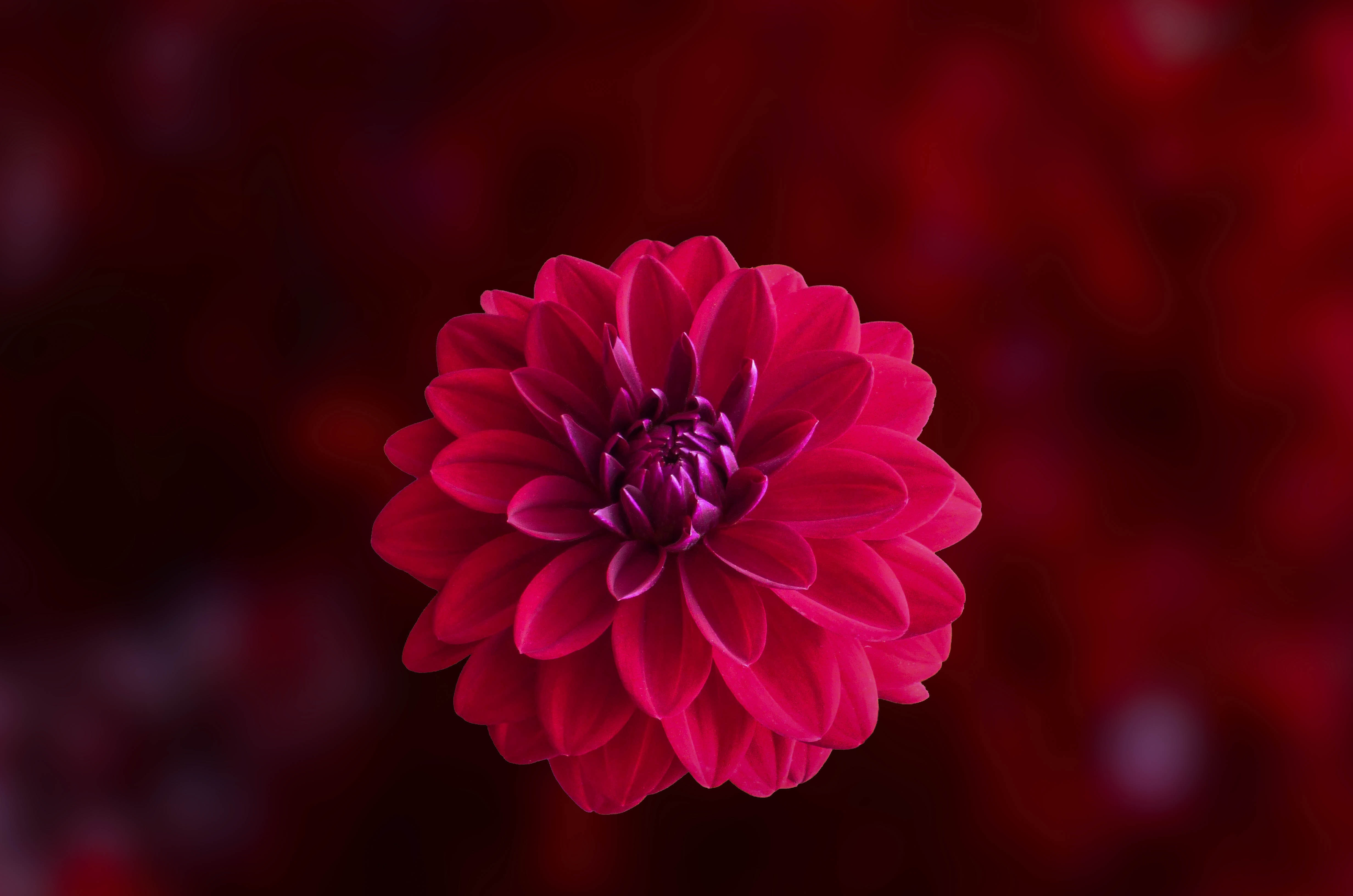 Free photo pink dahlia flower in bloom close up photo flower pink dahlia flower in bloom close up photo izmirmasajfo