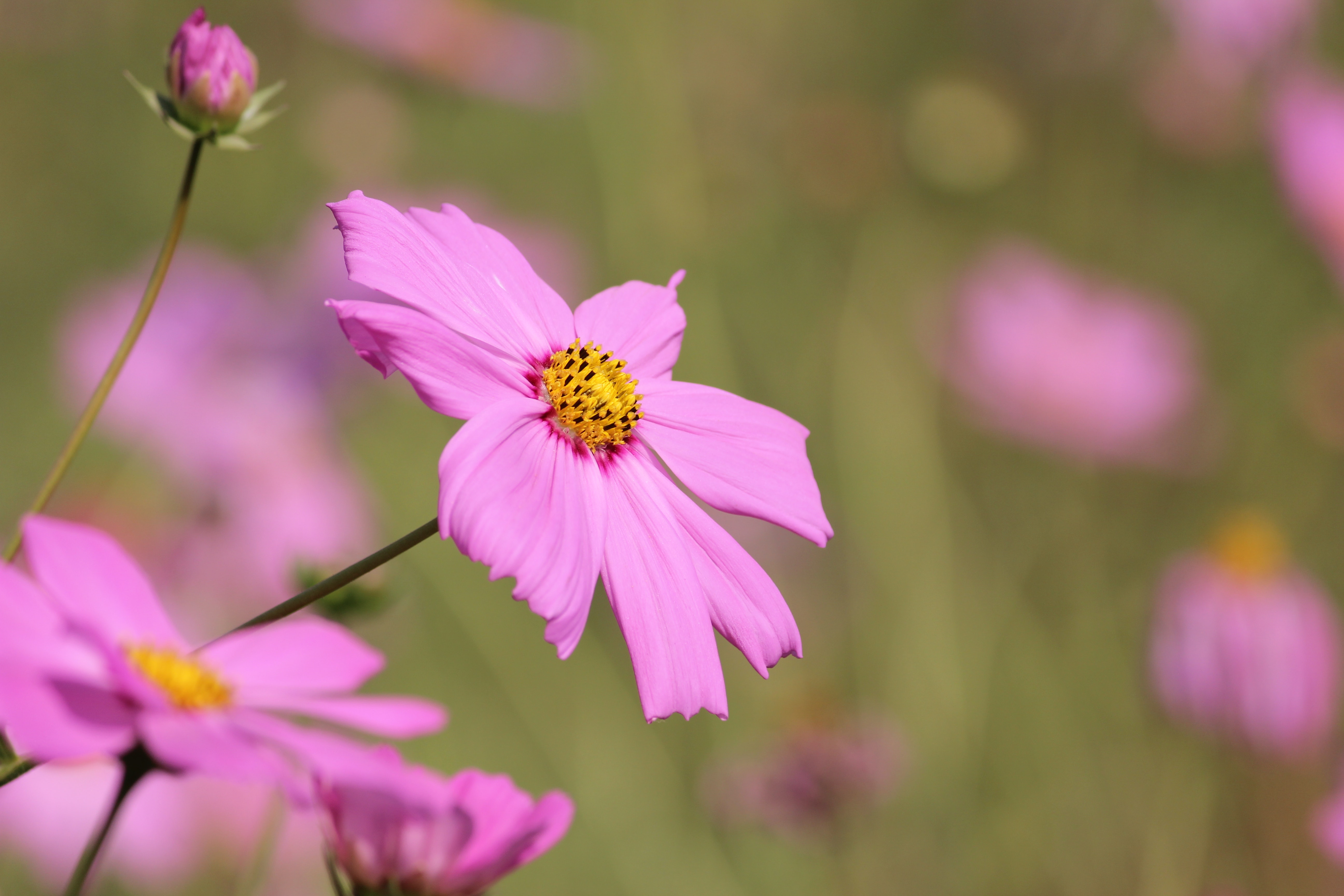 Pink Daisy Flower Selective Photography, Beautiful flowers, Flowers, Pink, Petals, HQ Photo