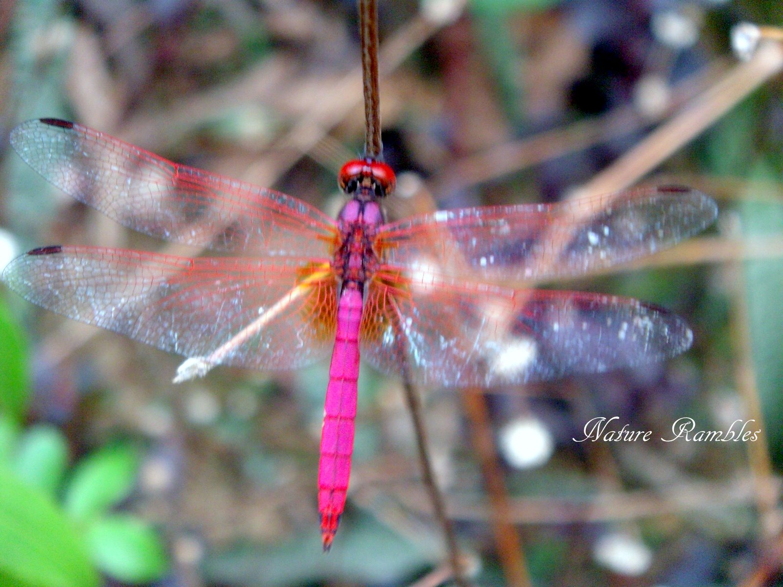 Pink dragonfly photo