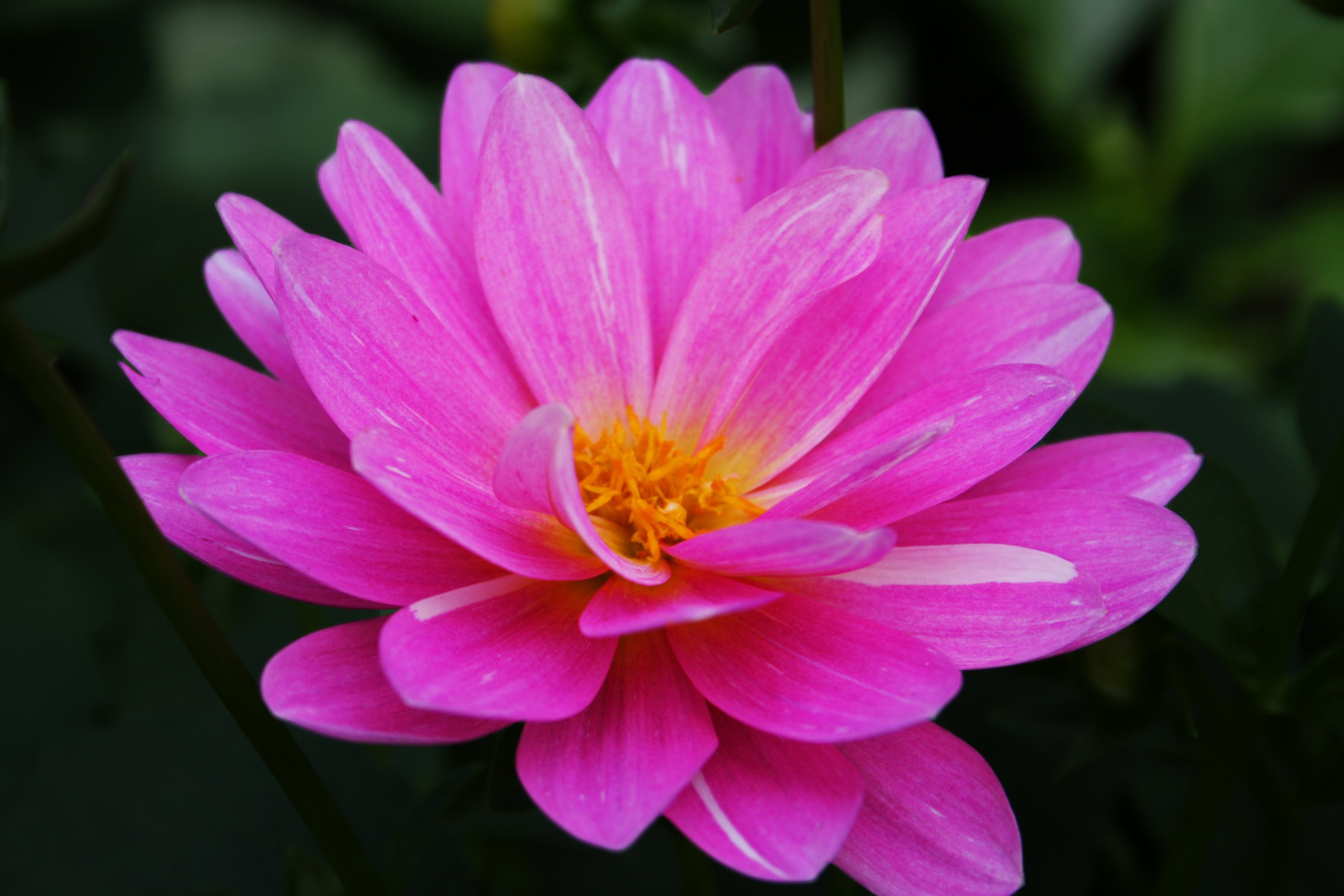 Beautiful Pink Flower | Flowers| Free Nature Pictures by ...