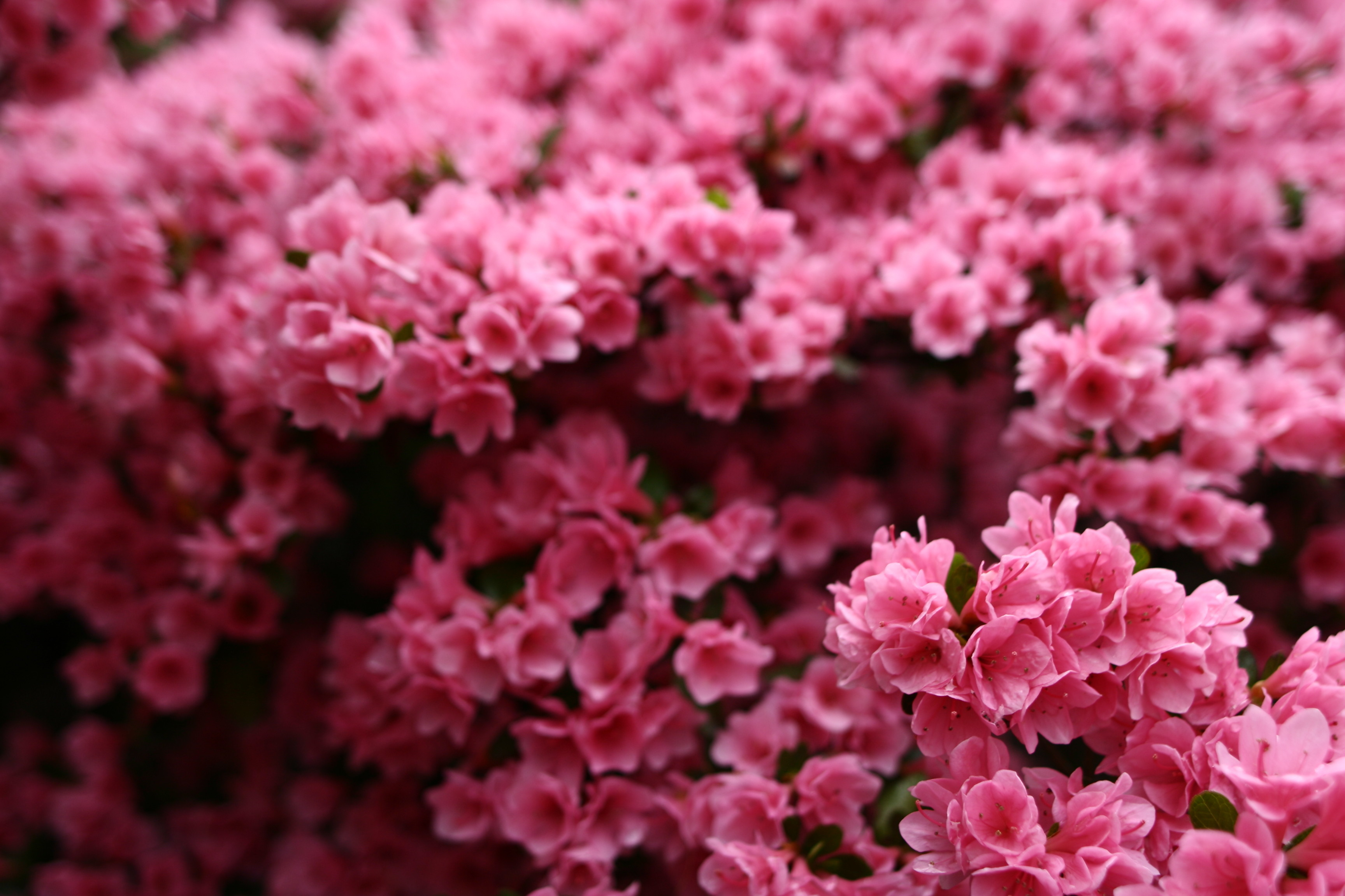 Wonderful Spring Pink Flower Bush | Flowers| Free Nature Pictures by ...
