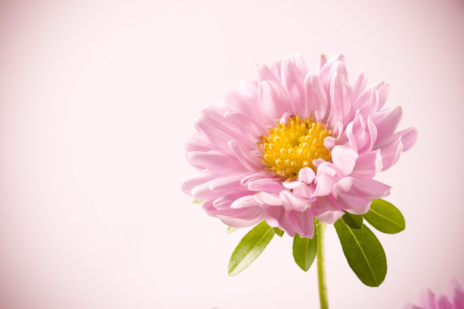 Pink flower, Beautiful, Closeup, Flower, Nature, HQ Photo