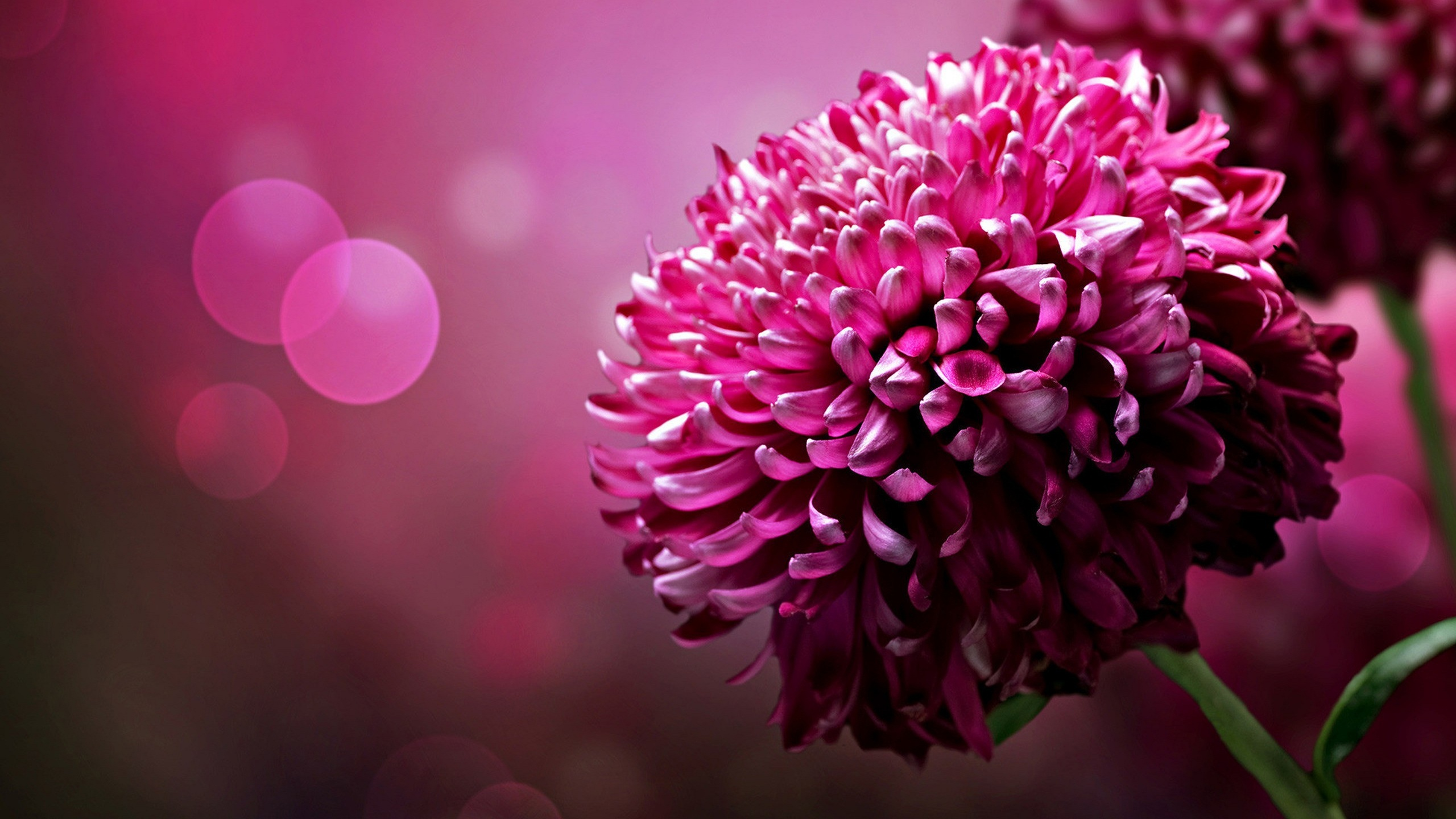 Free Photo Pink Flowers Plant Pretty Pink Free Download Jooinn