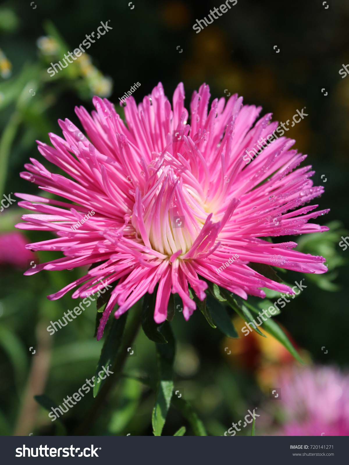 Beautiful Pink Flower Dwarf Aster Known Stock Photo 720141271 ...
