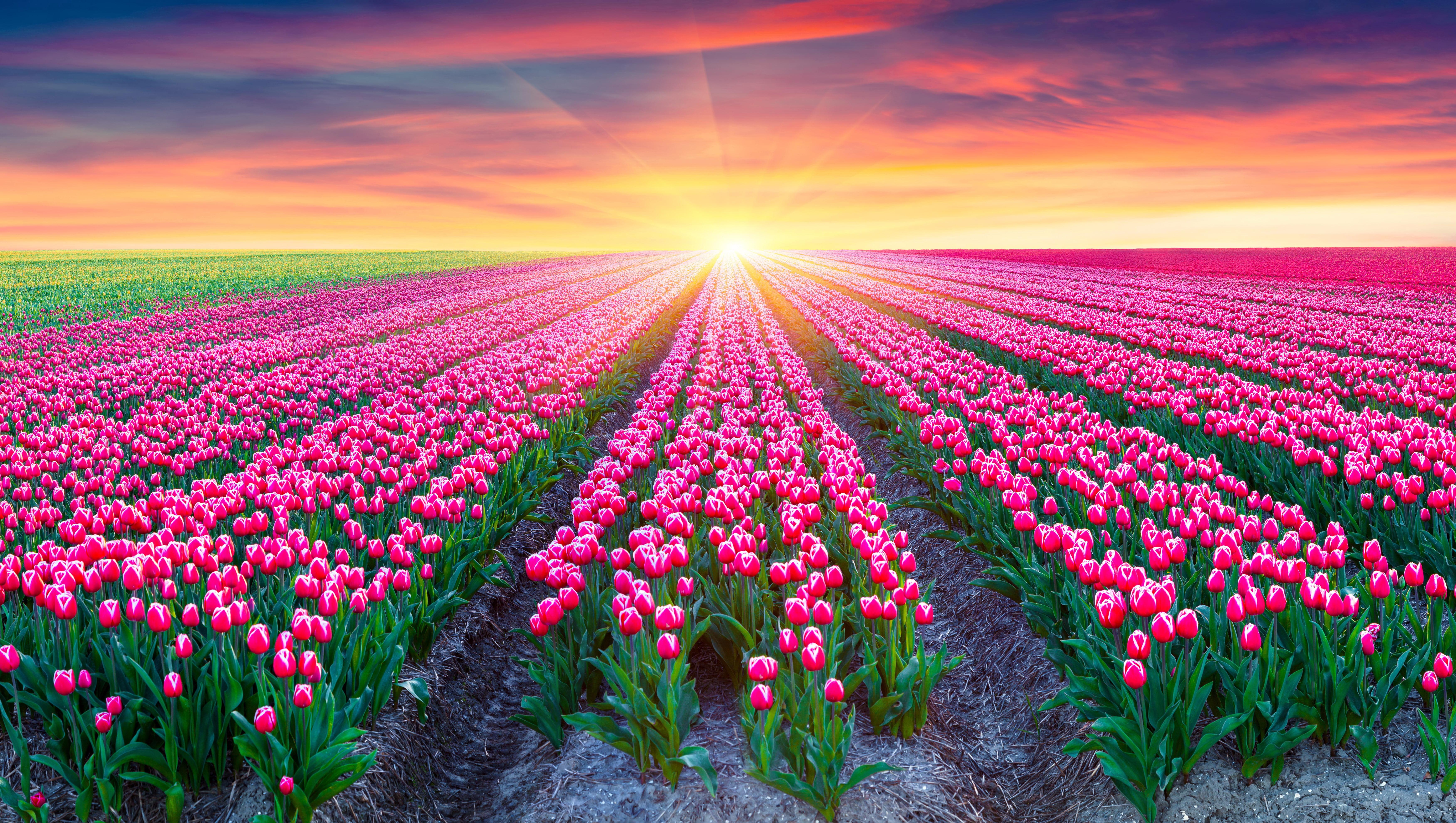 Pink tulip flower field during sunrise HD wallpaper | Wallpaper Flare