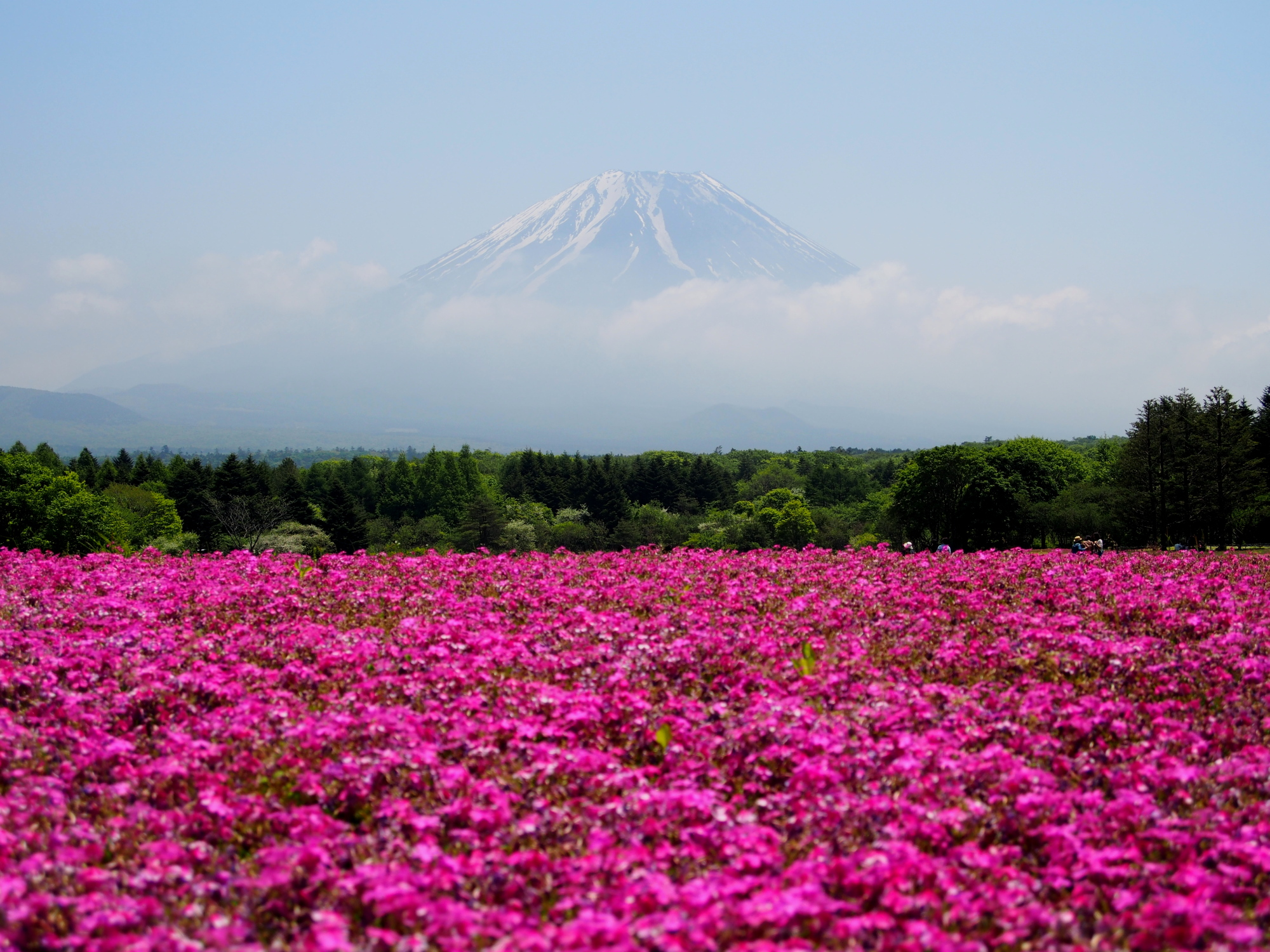 Free Photo Pink Flower Field Flowers Flora Field Free