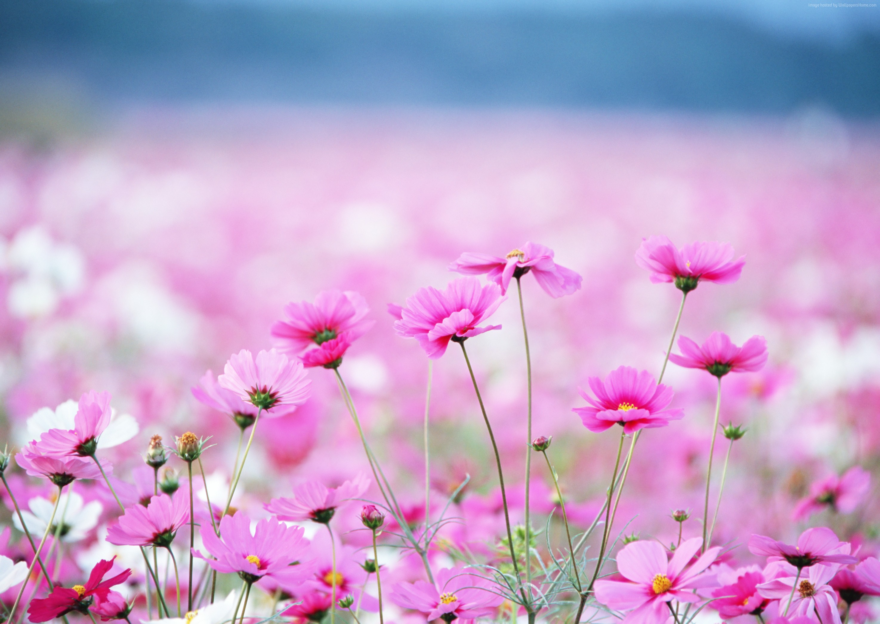 Wallpaper Wildflowers, HD, 4k wallpaper, field, pink, flower, Nature ...
