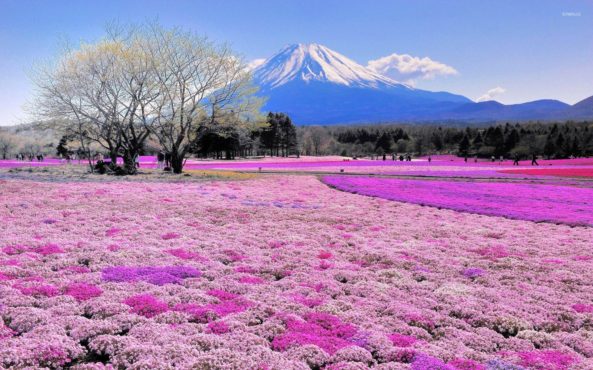 Pink flower field and Mount Fuji wallpaper - Nature wallpapers - #31118