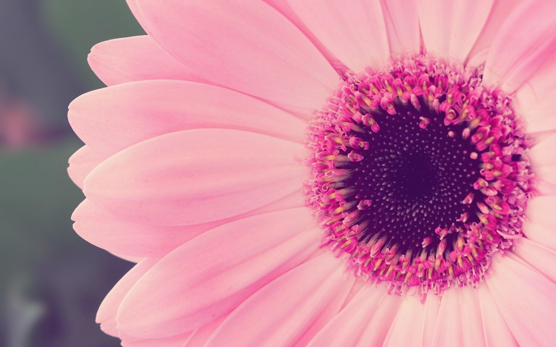 Close Up Nature Flowers Pink Flower Petals Fresh New Hd Wallpaper ...