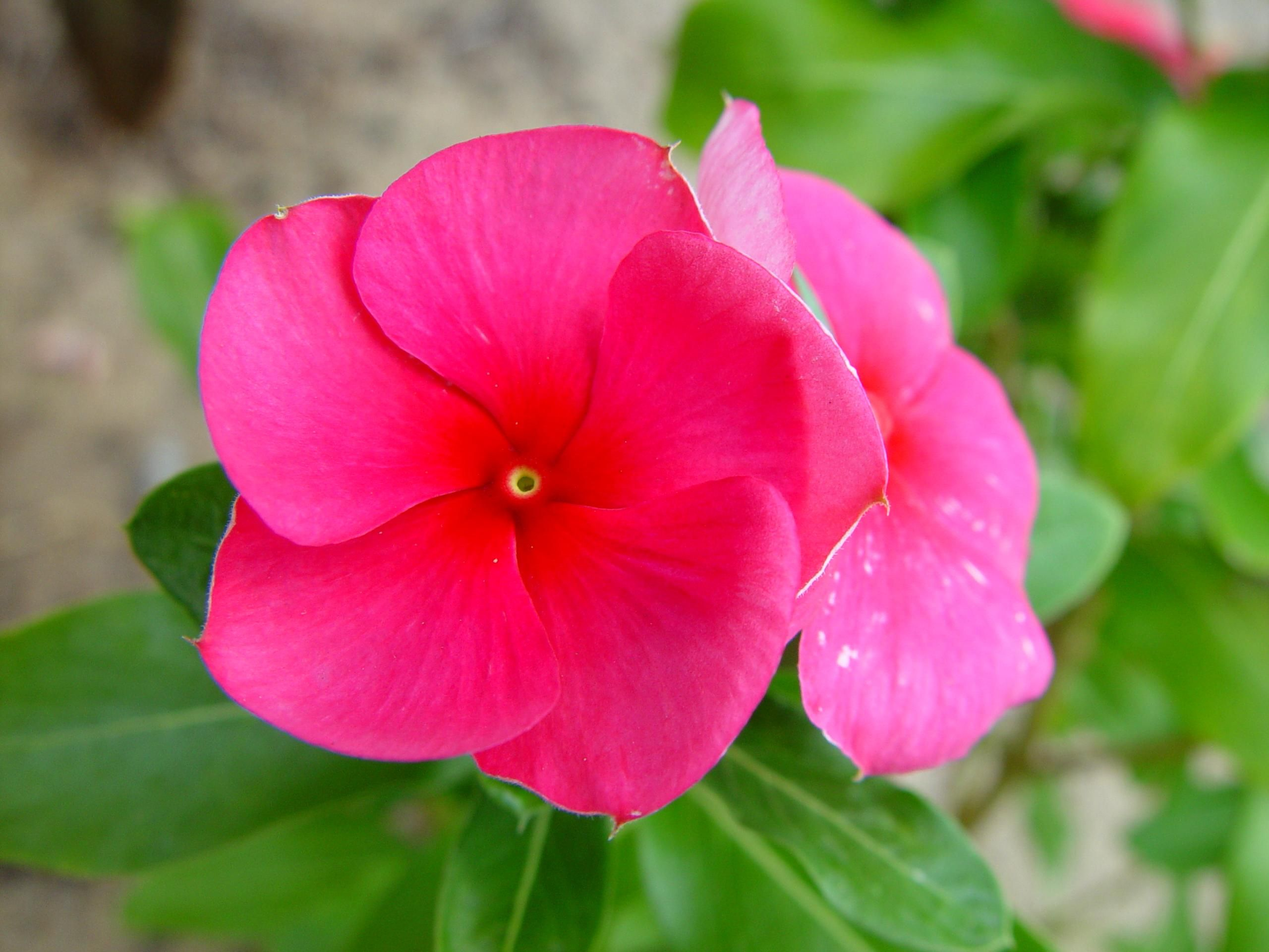 Free picture: pink flower