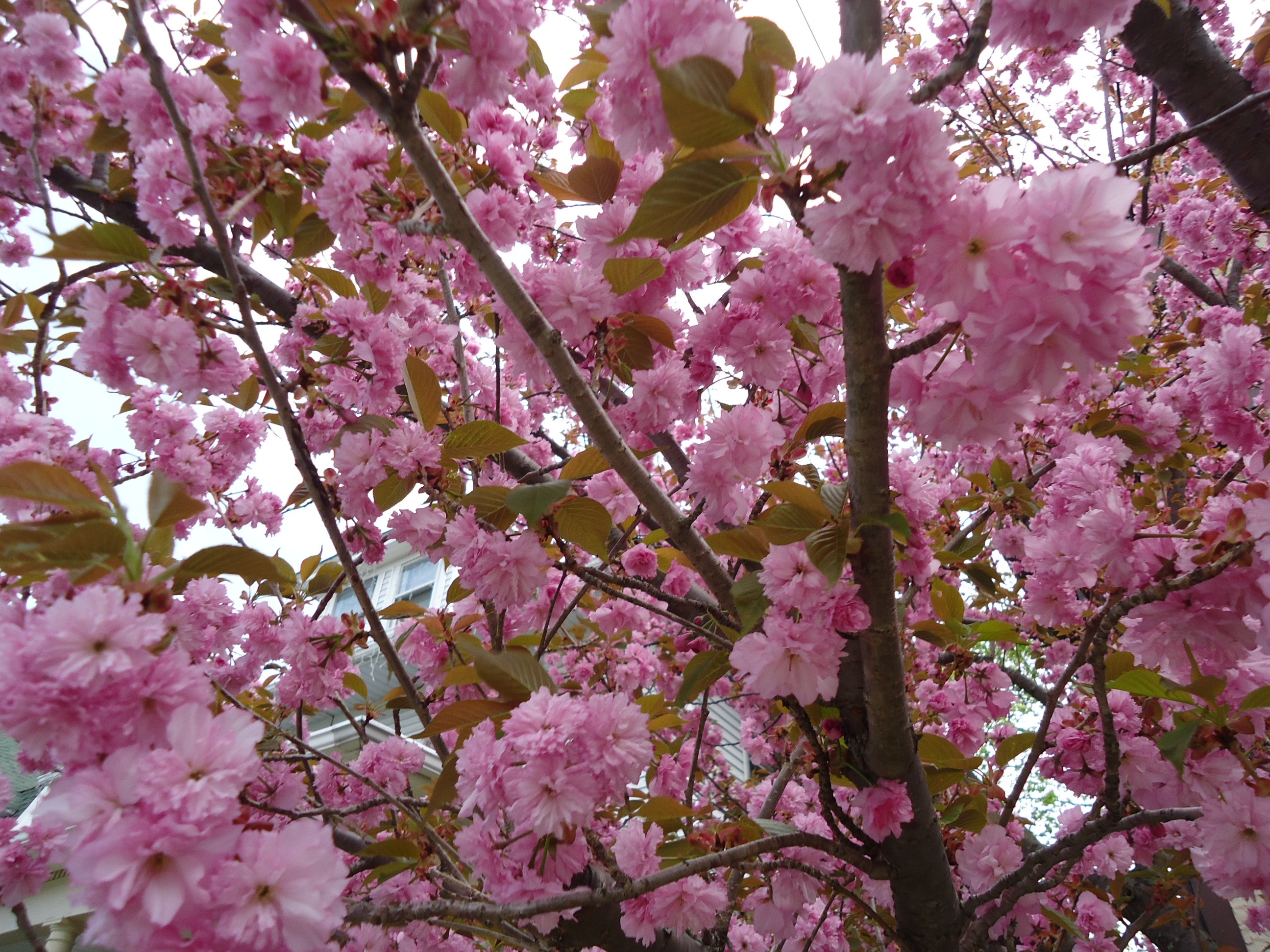 Free photo pink flower tree tree pink fragrance free download pink flower tree mightylinksfo