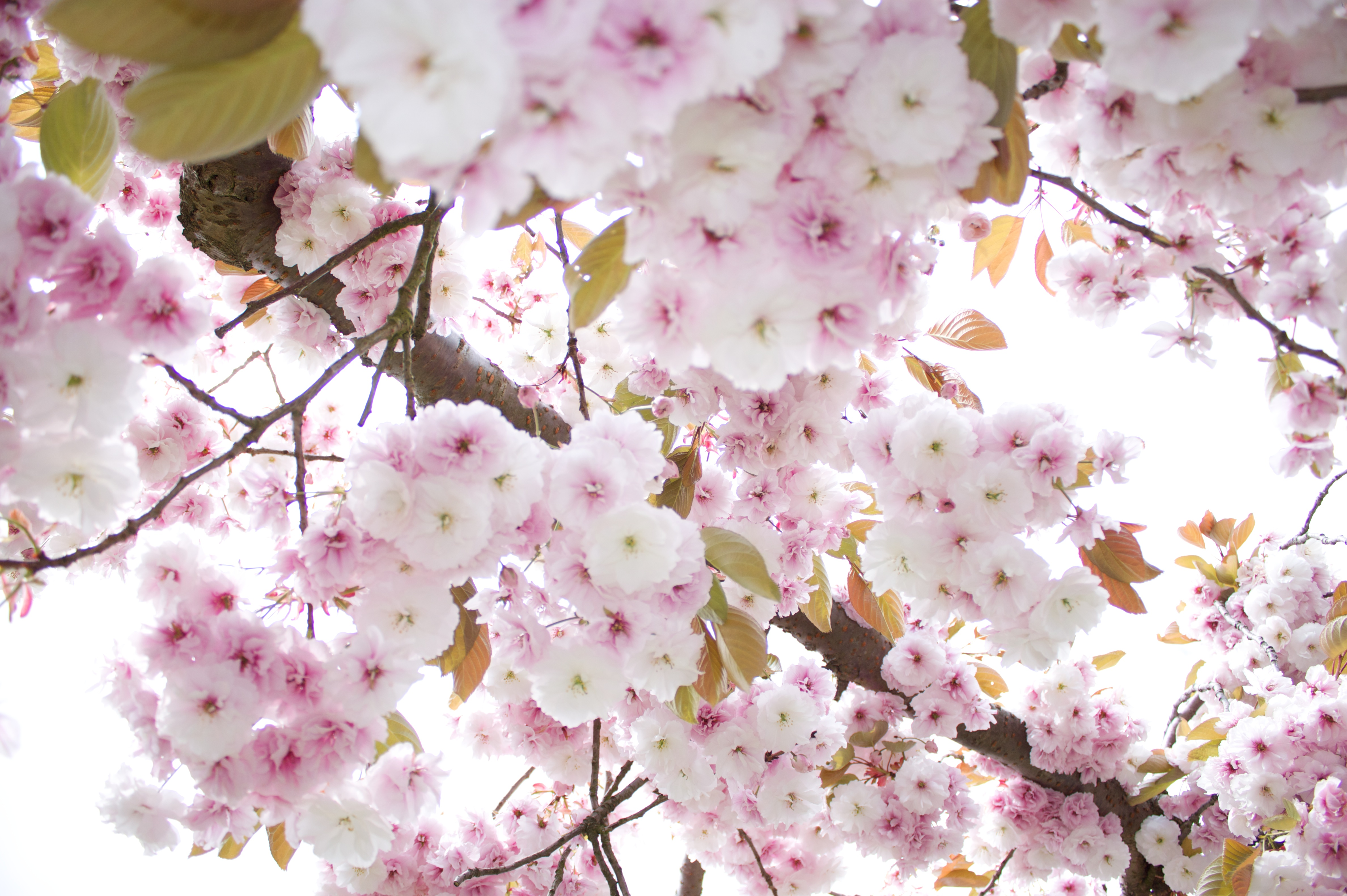 Free Photo Pink Flower Tree Tree Pink Fragrance Free Download