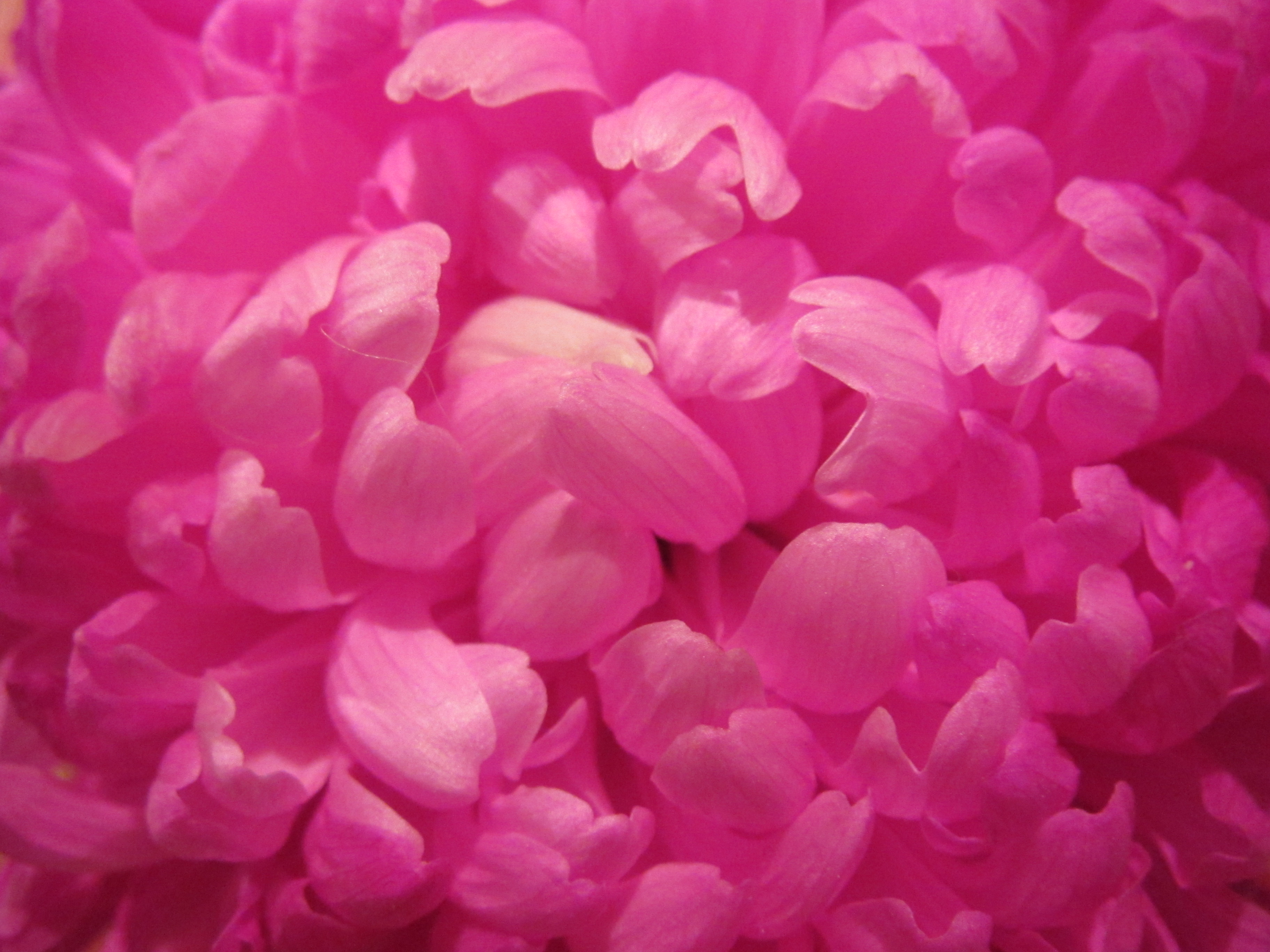 Free photo pink flower wallpaper pink plant pretty free pink flower wallpaper mightylinksfo