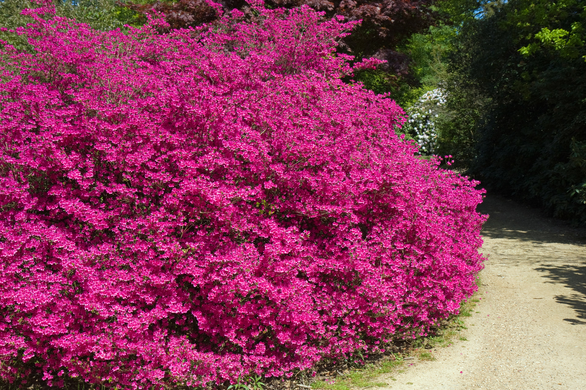 Free Photo Pink Flowering Bush Pink Tree Shrub Free Download