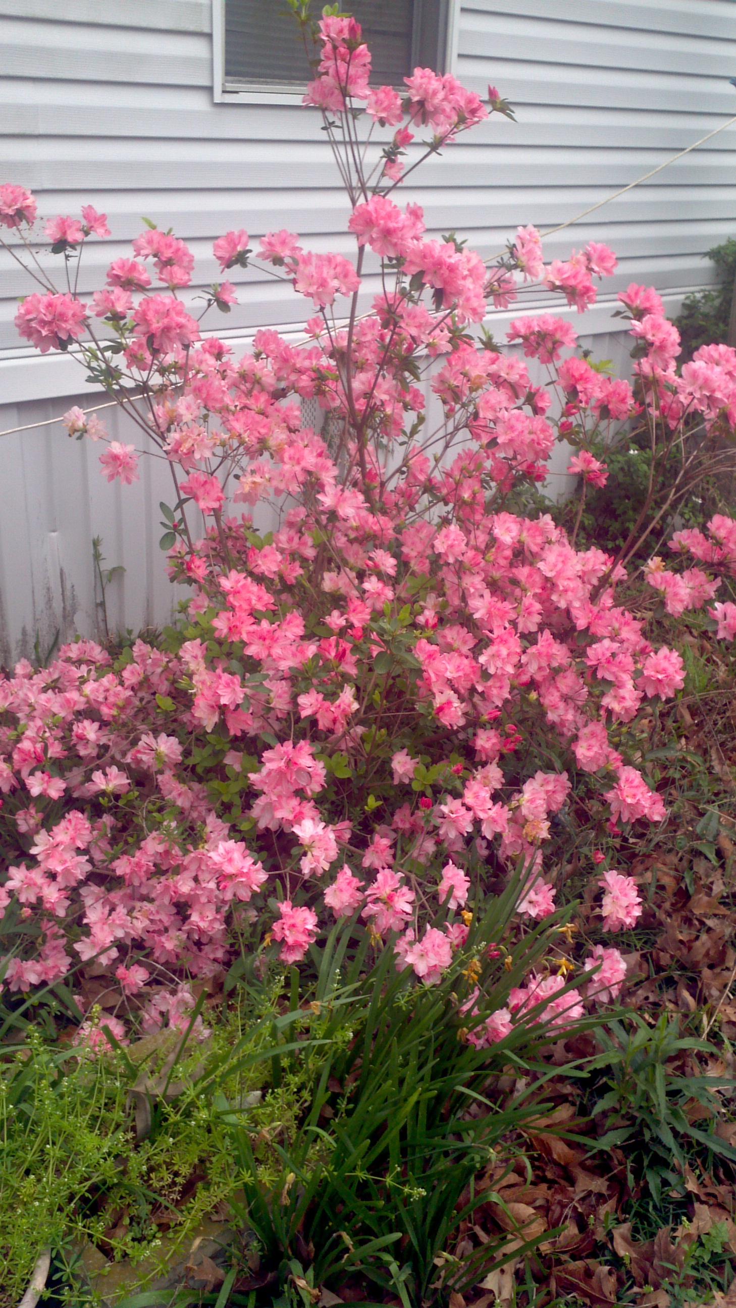 Free Photo Pink Flowering Bush Pink Tree Shrub Free Download