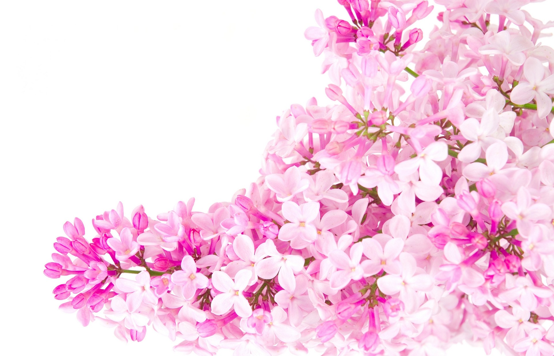 Free Photo Pink Flowers Garden Pink Nature Free Download Jooinn