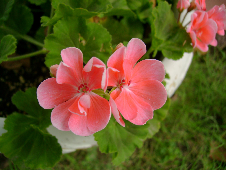 Free photo pink flowers plant pretty pink free download jooinn pink flowers plant pretty pink red hq photo mightylinksfo