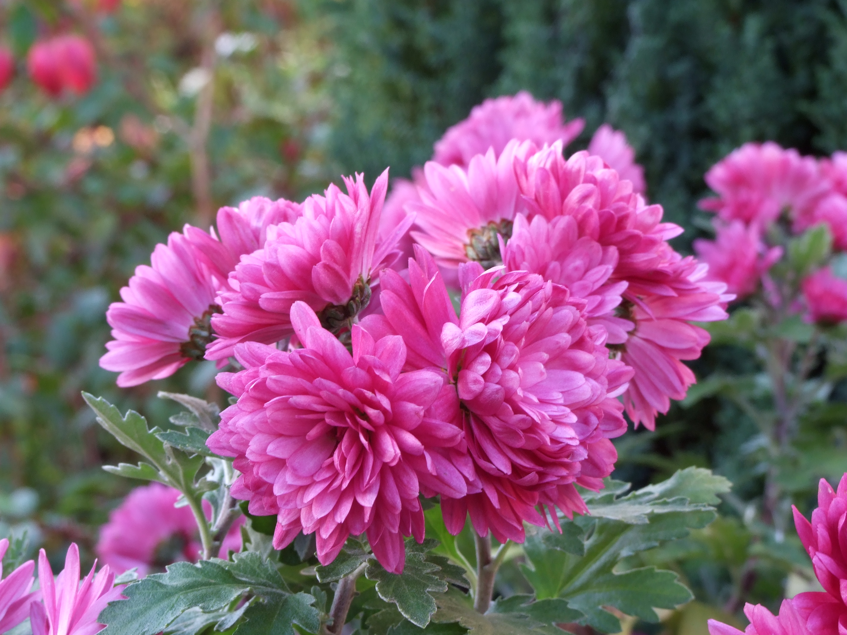 Free Photo Pink Flowers Plants Purple Pink Free Download Jooinn