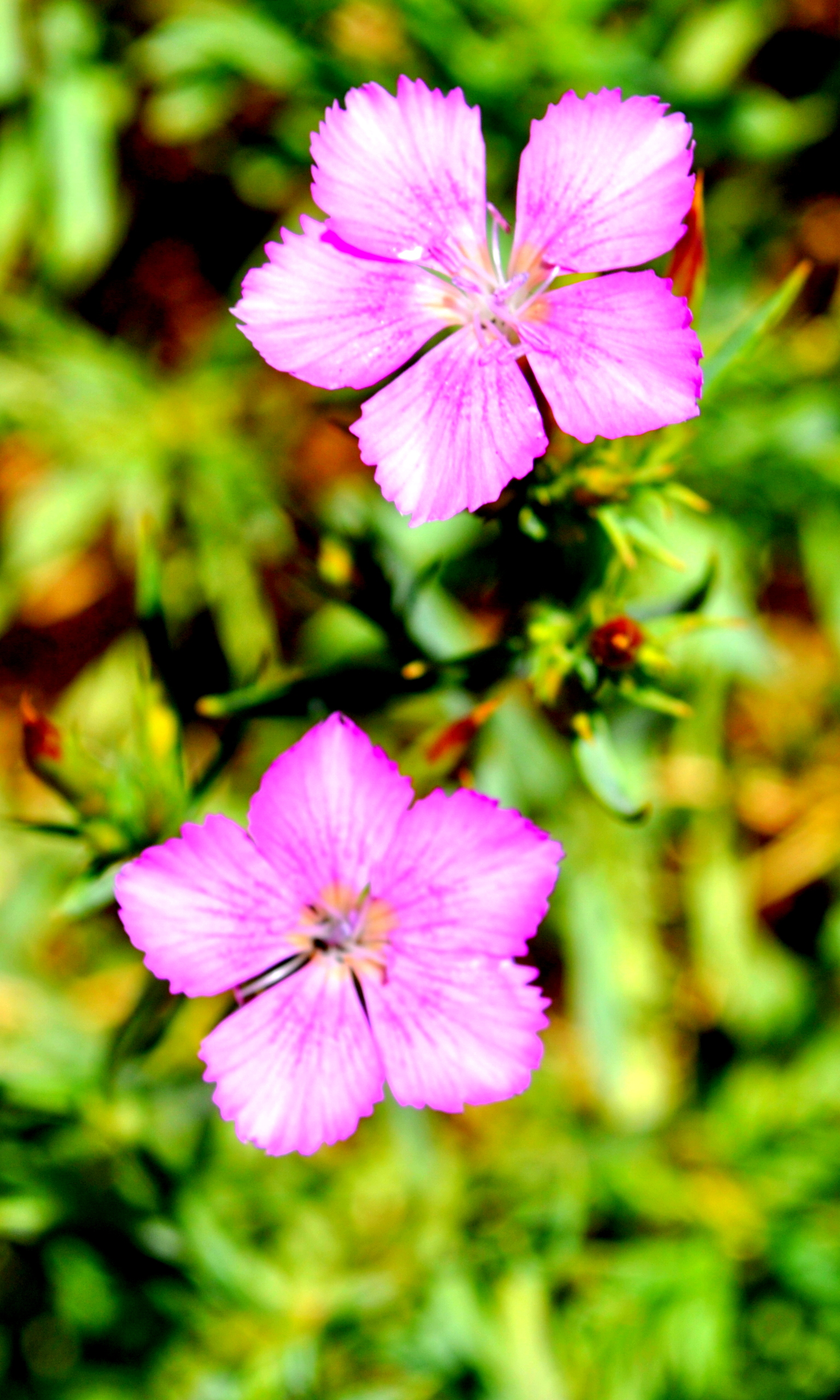 Free Photo Pink Flowers Pink Summer Flowers Free Download