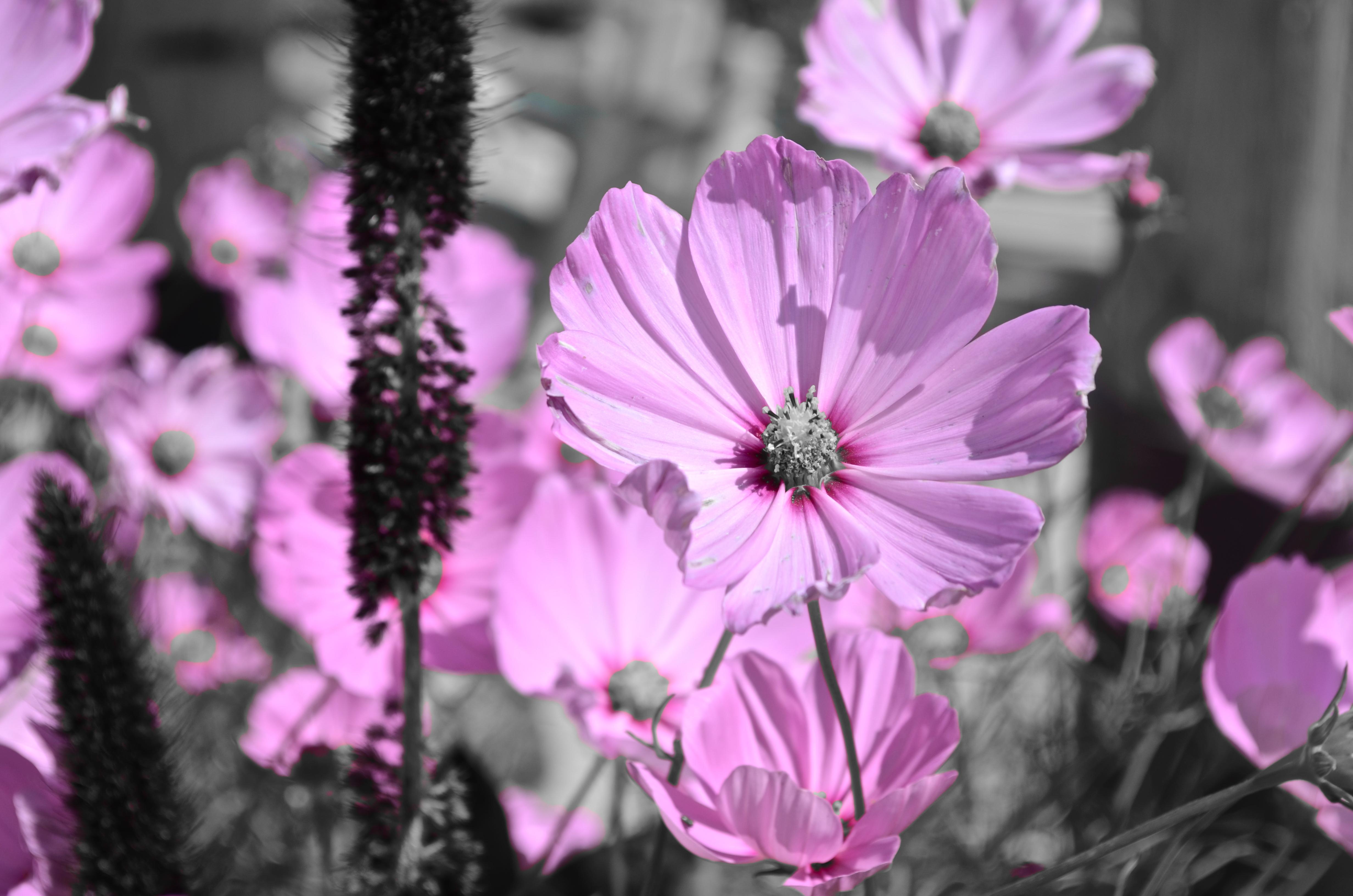 Pink Flowers In Black White Garden Peace Pretty Monochromatic