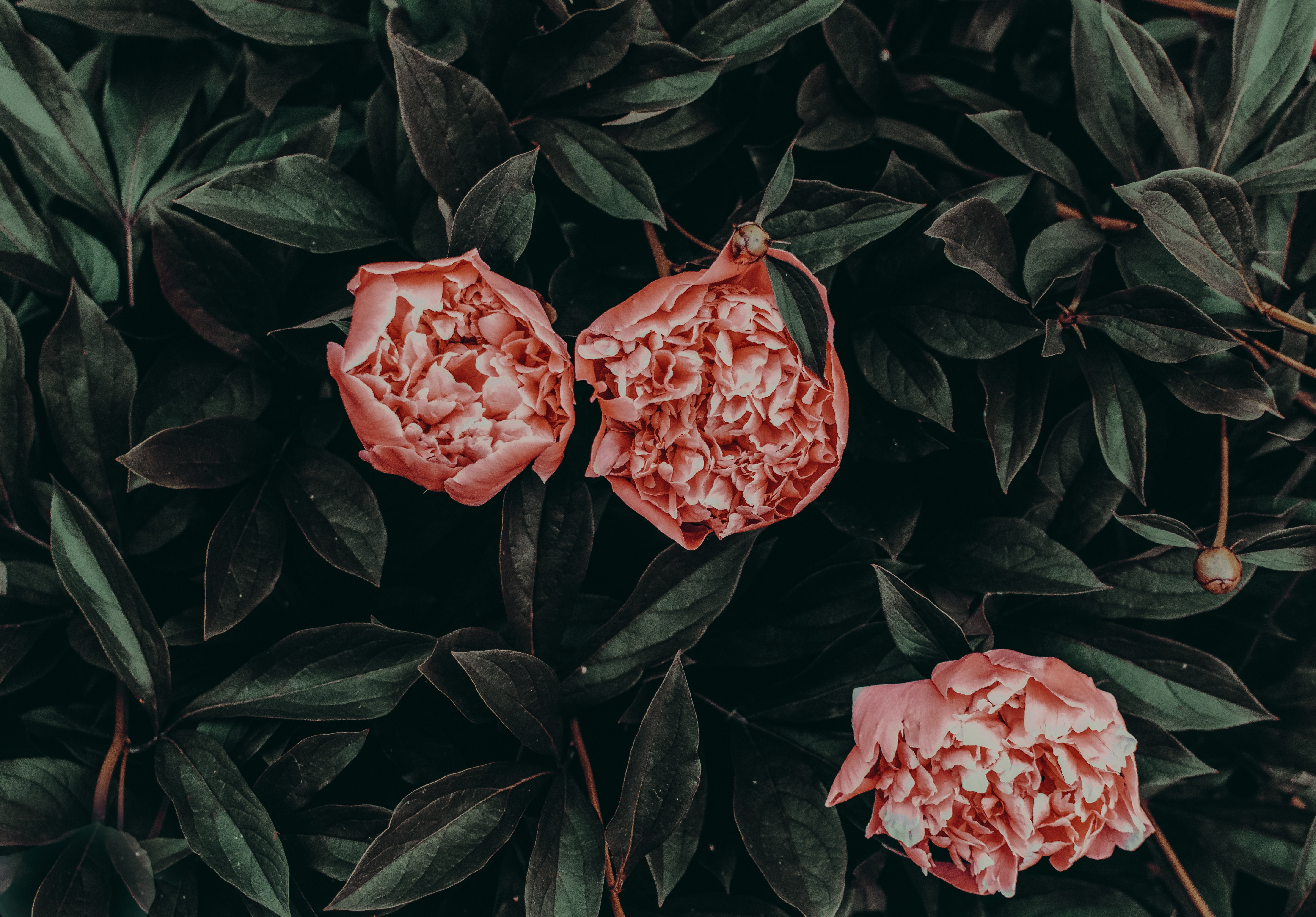 Pink flowers with green leaves photo