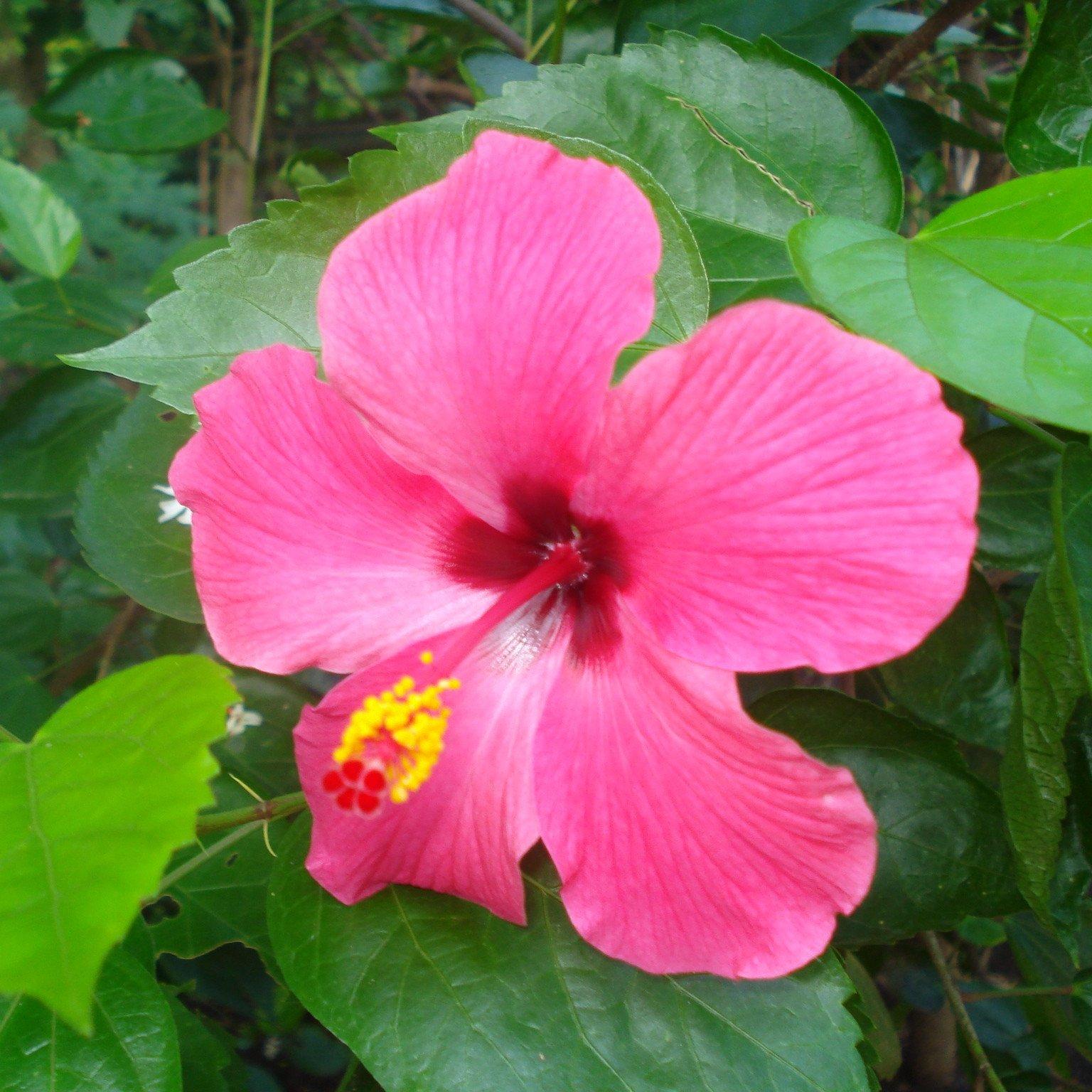 Free Photo Pink Hibiscus Pink Plant Summer Free Download Jooinn