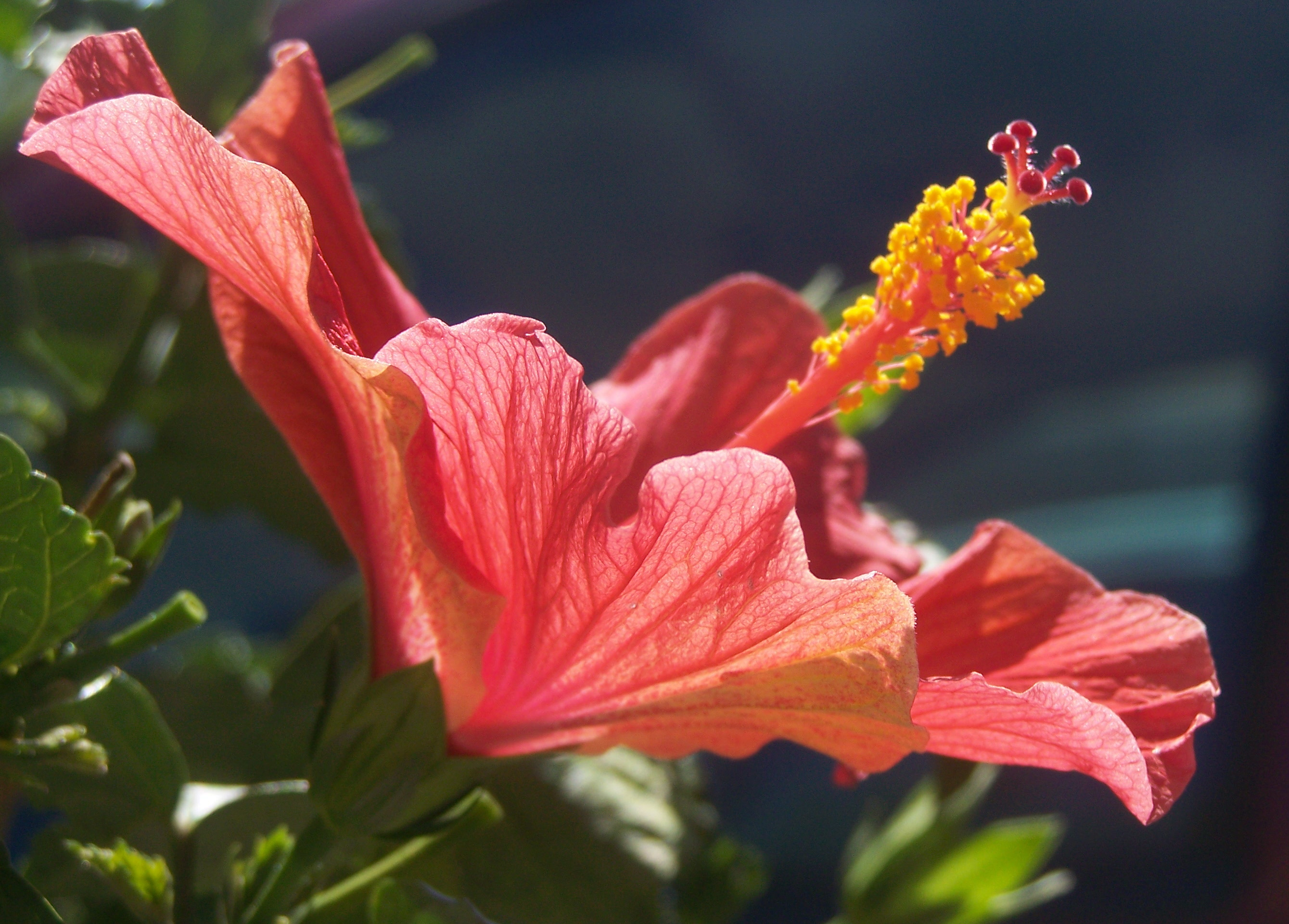 Free photo pink hibiscus flower outdoors outdoorchallenge macro more pink hibiscus flower izmirmasajfo