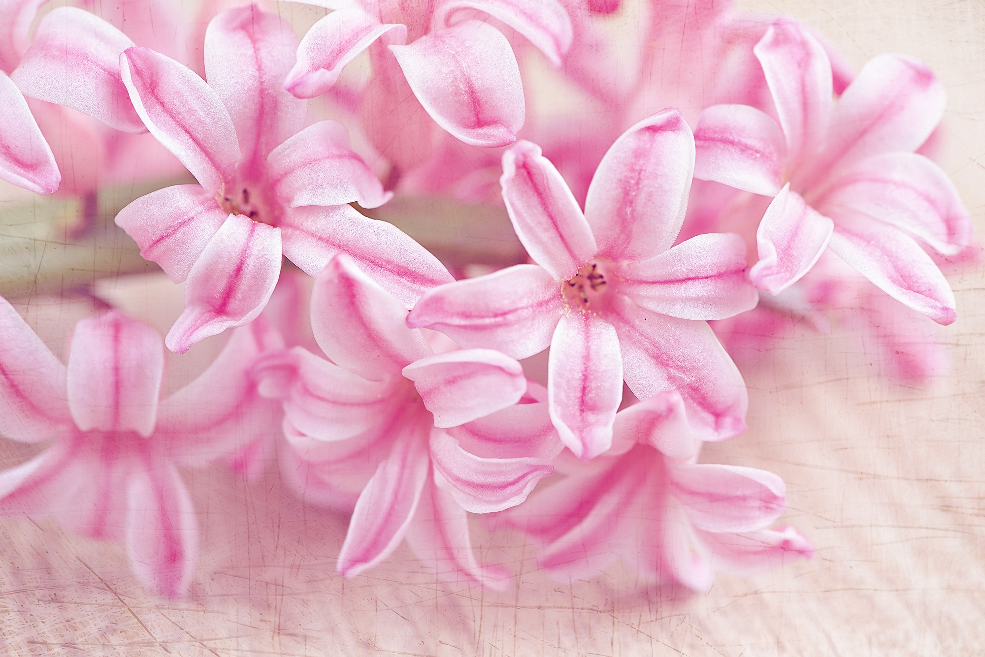 Pink hyacinth photo
