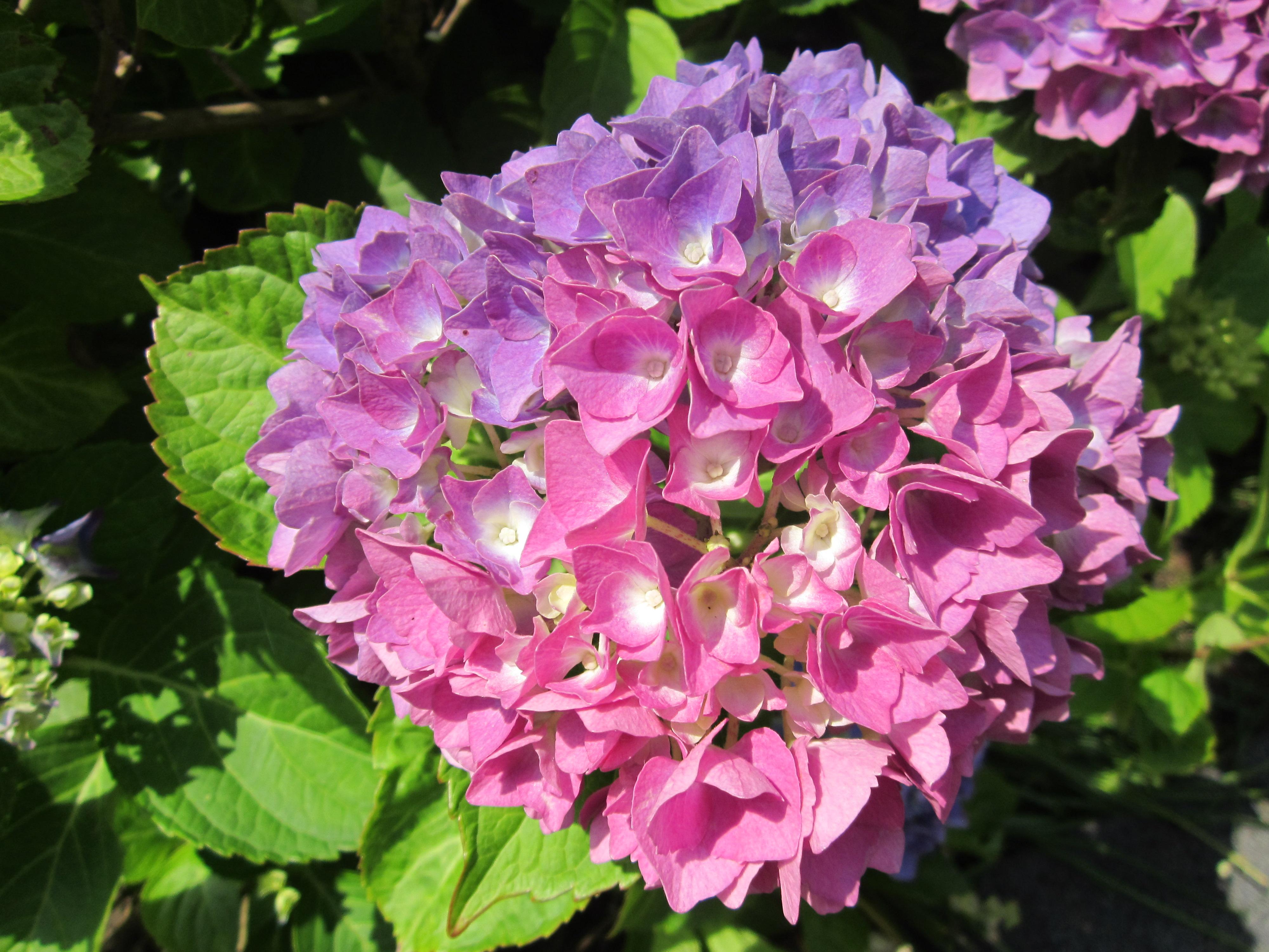 Pink hydrangea flower photo