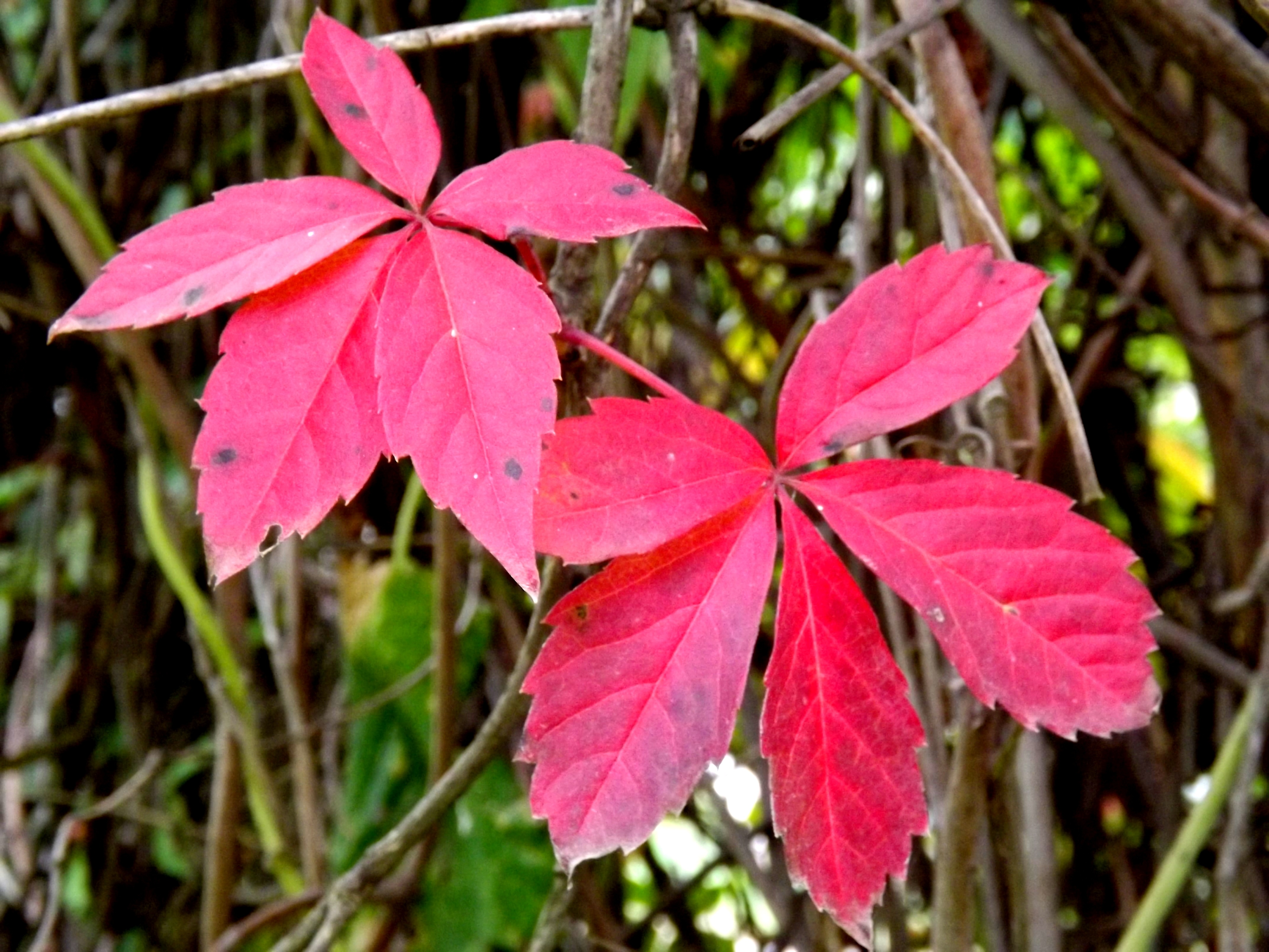 Pink Leaves, Wild, Pink, Nature, Leaf, HQ Photo