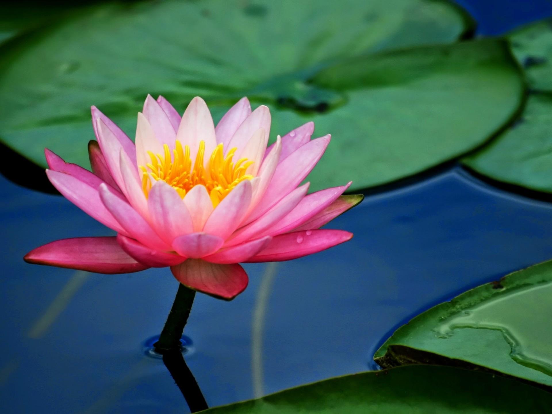 Free Photo Pink Lotus Flower Petals Pink Water Lily Free