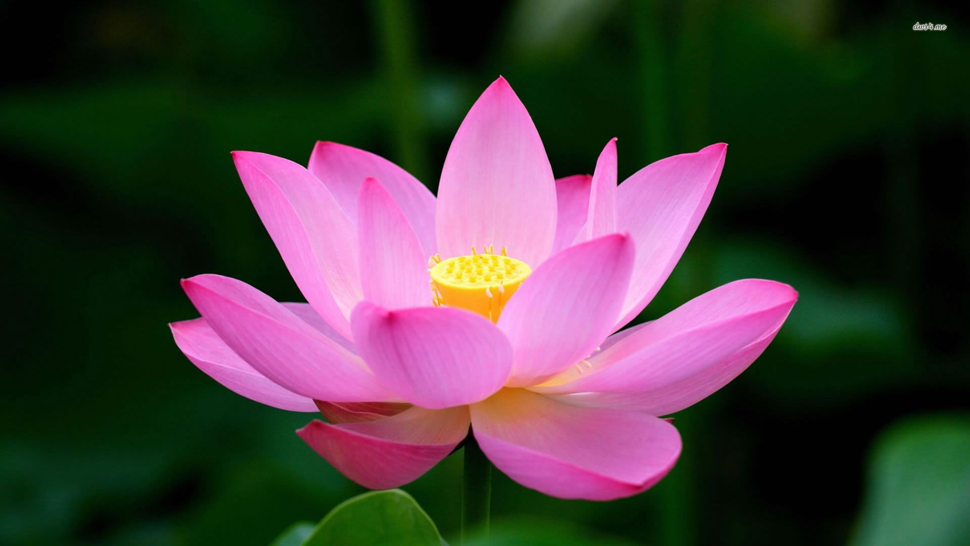 Free photo lotus flower peace oval petals free download jooinn lotus flower mightylinksfo
